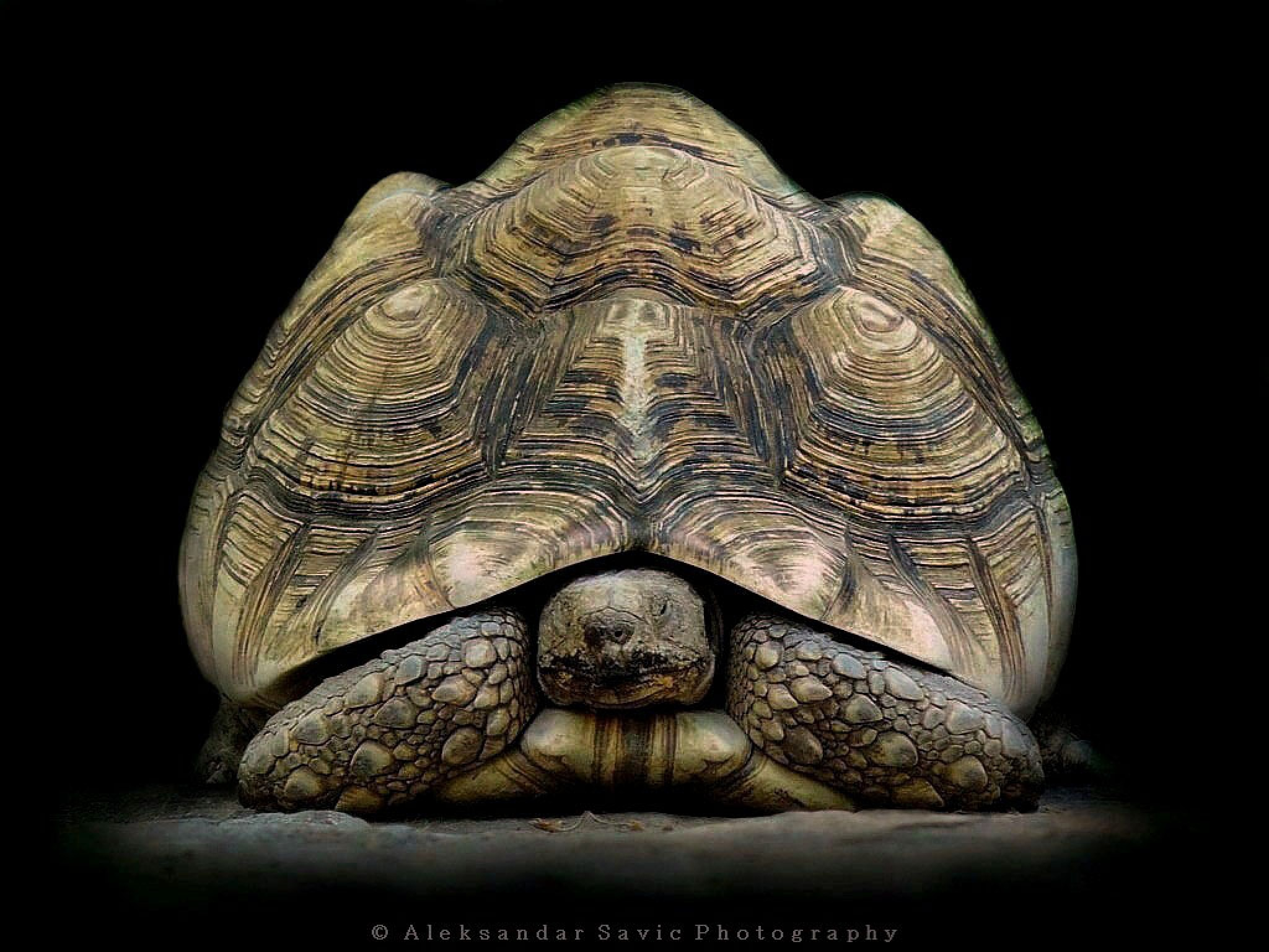 Leopard Tortoise by Aleksandar Savic