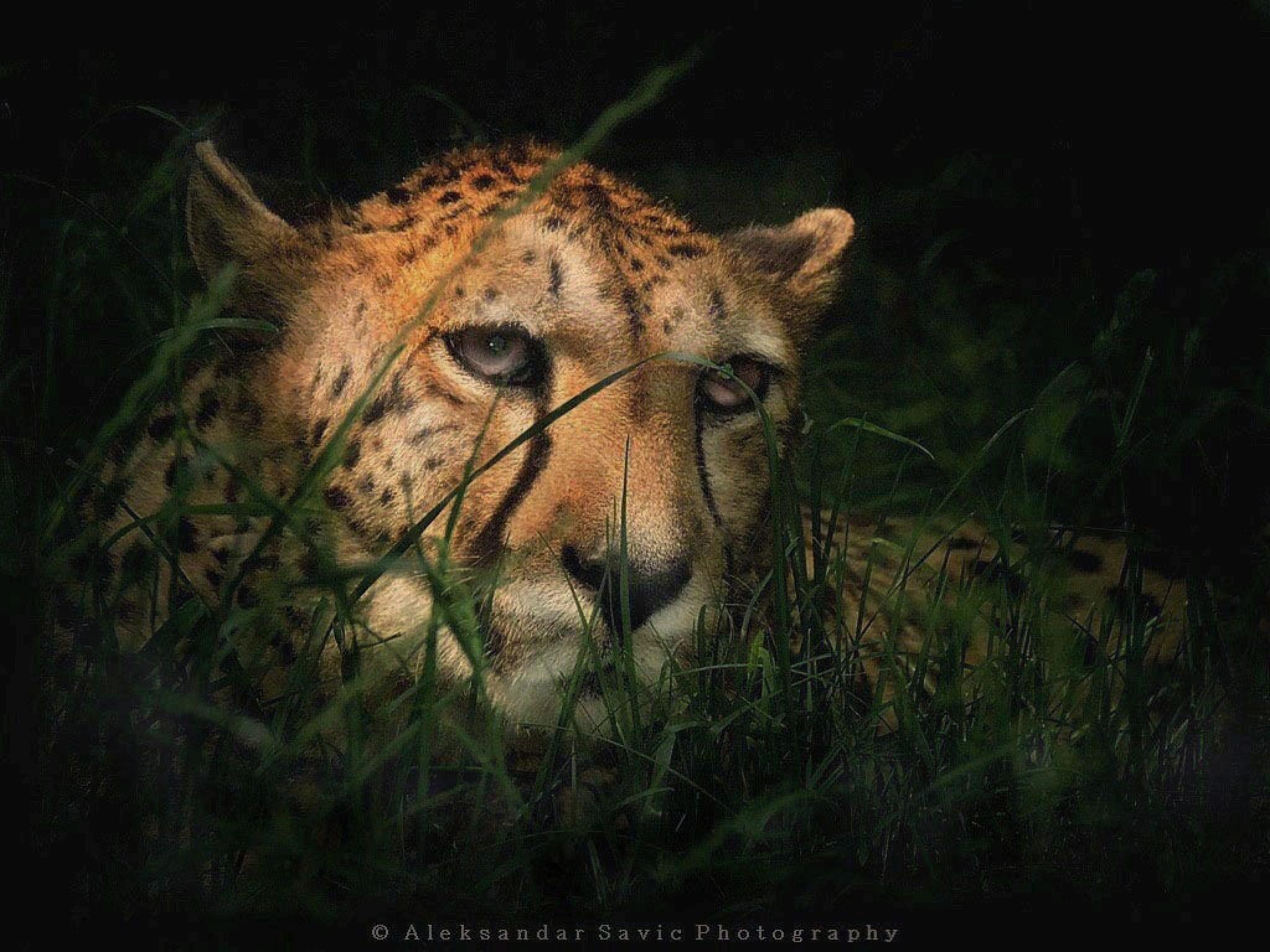 Cheetah by Aleksandar Savic