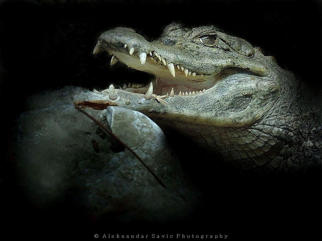 Spectacled Caiman by Aleksandar Savic