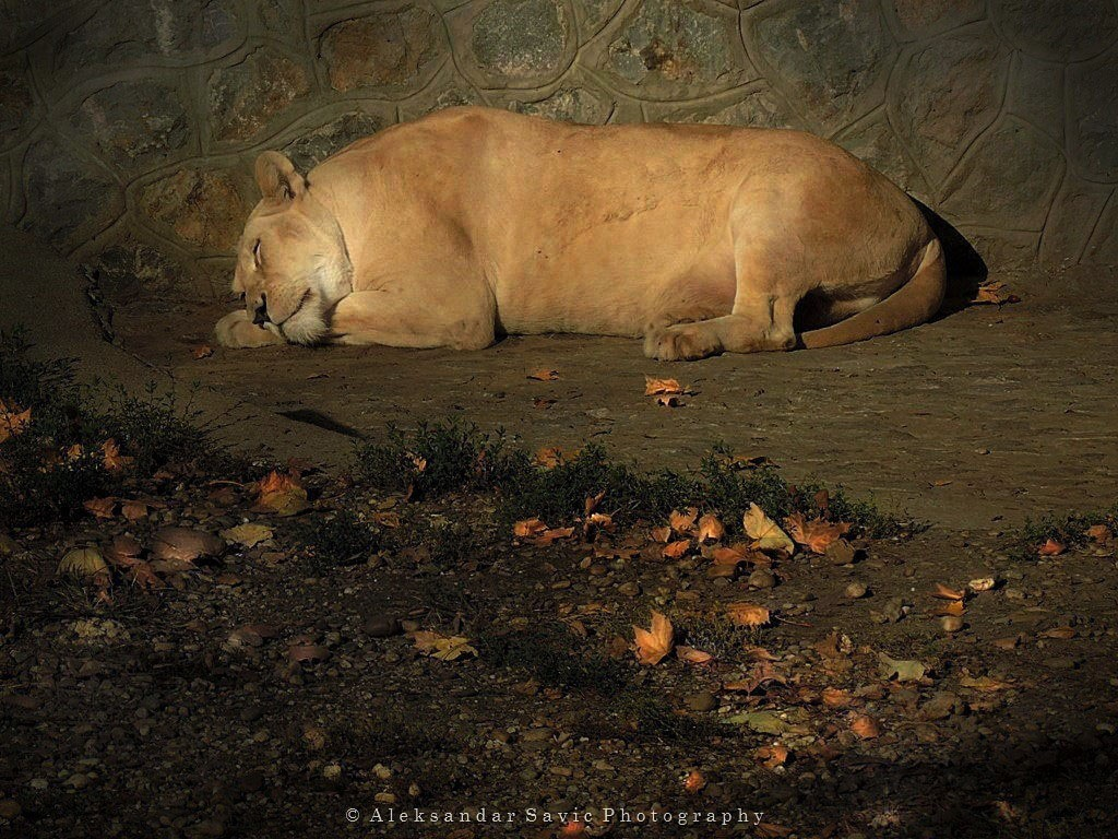Sleeping Lioness by Aleksandar Savic