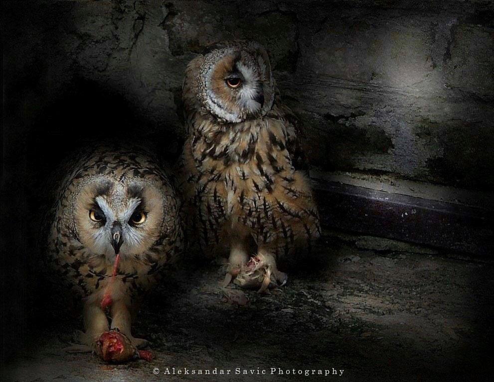 Long-Eared Owls by Aleksandar Savic