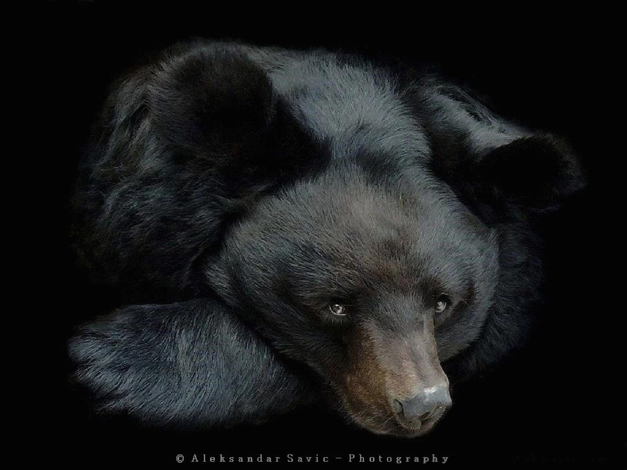 Asian Black Bear by Aleksandar Savic