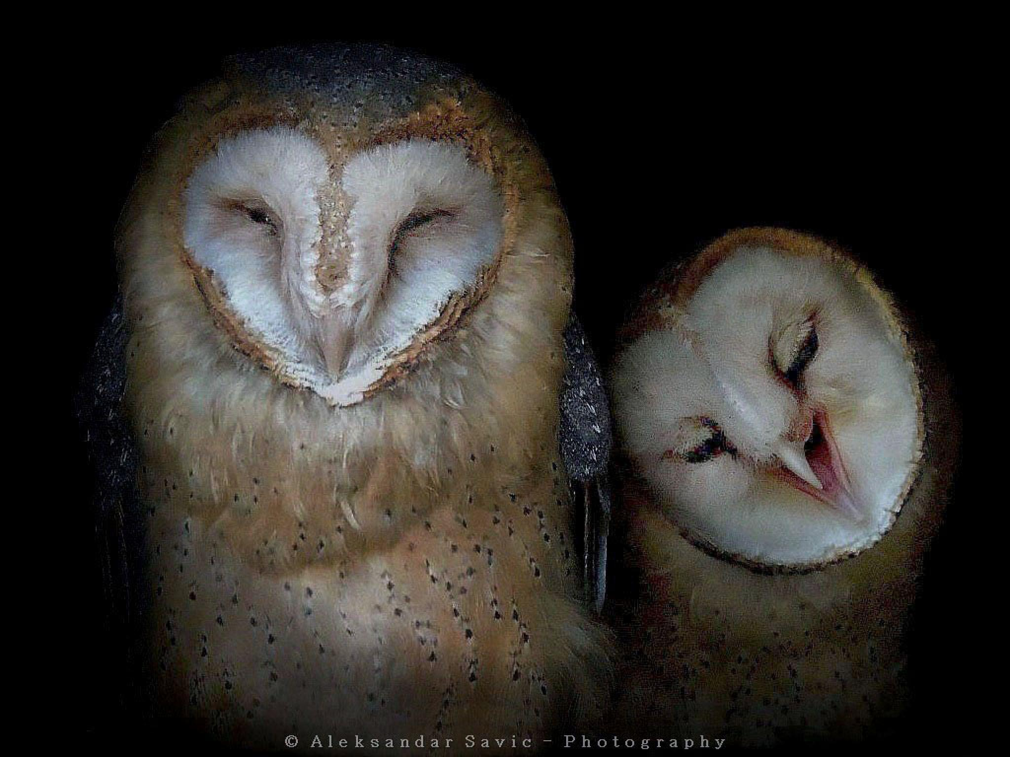 Barn Owls by Aleksandar Savic