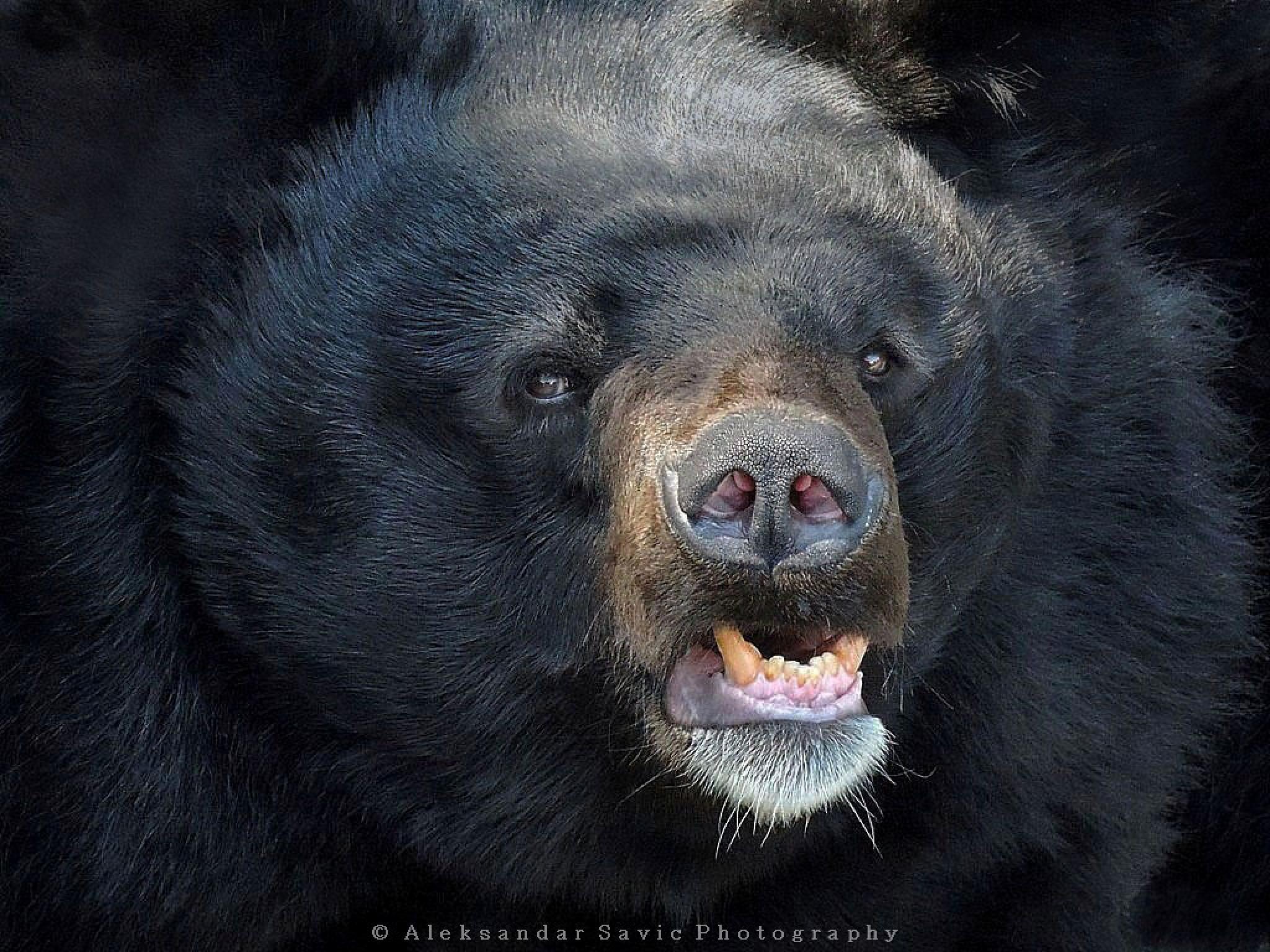 Asian Black Bear by Aleksandar Savic