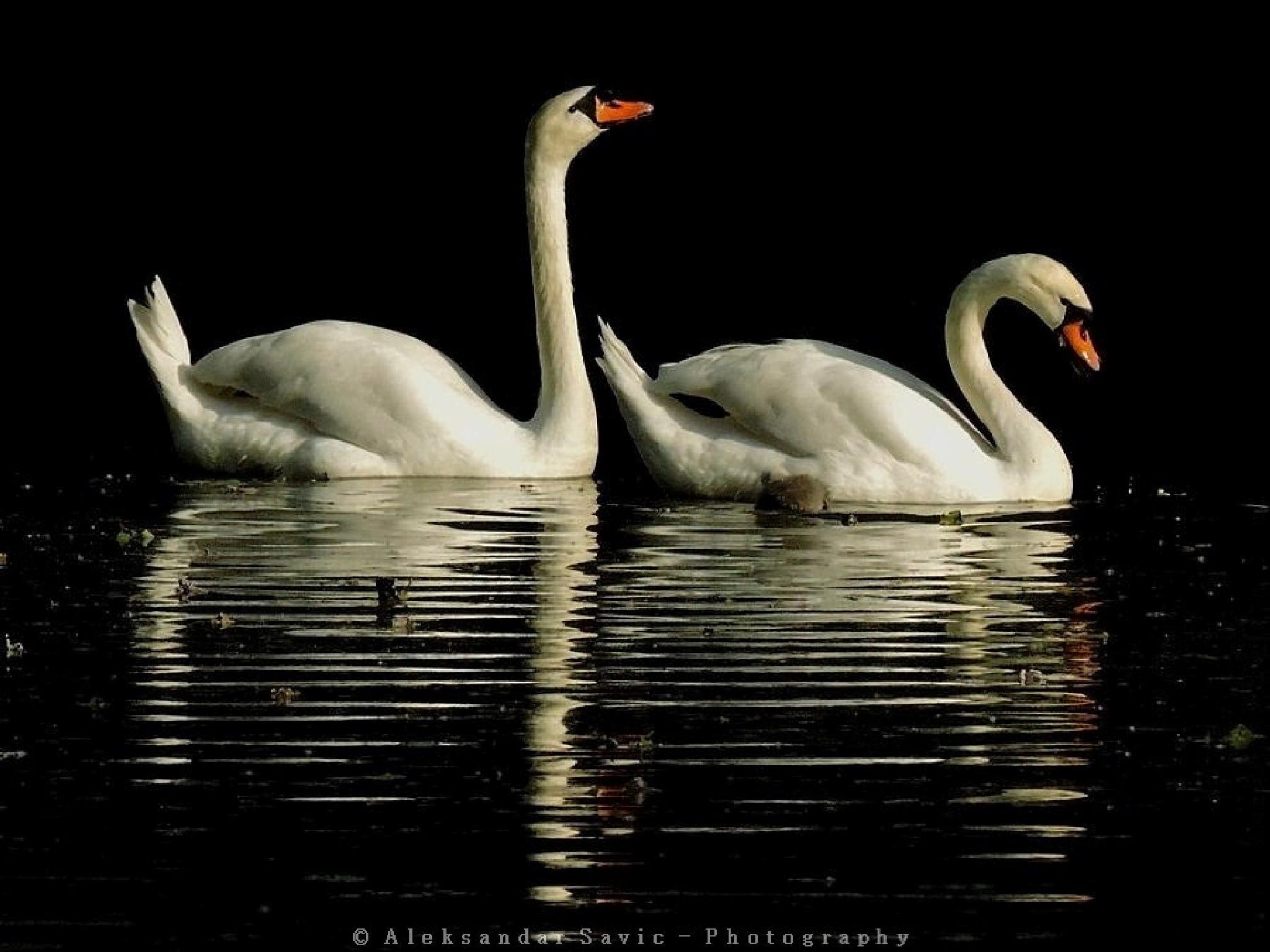 Mute Swans by Aleksandar Savic