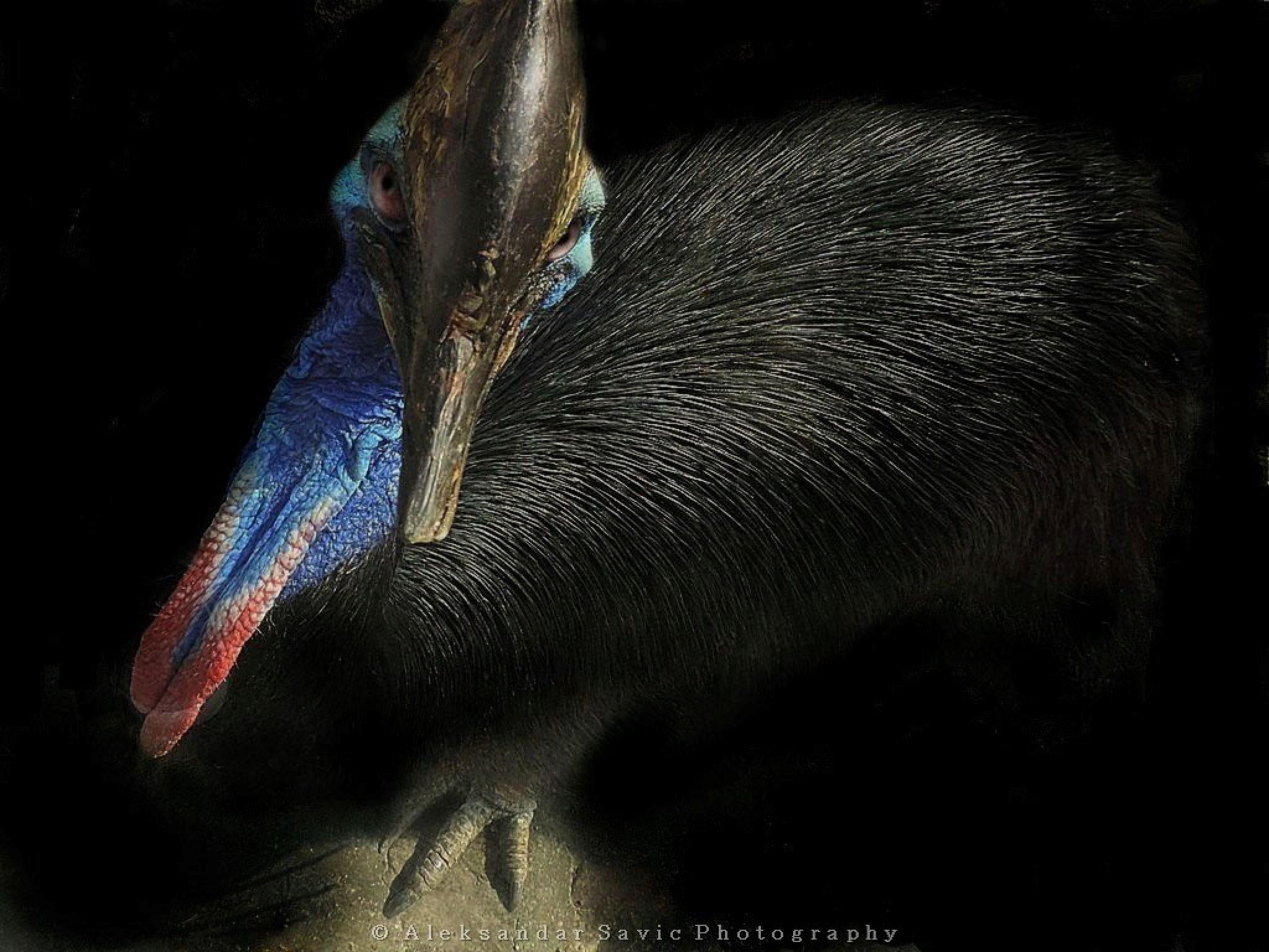 Southern Cassowary by Aleksandar Savic
