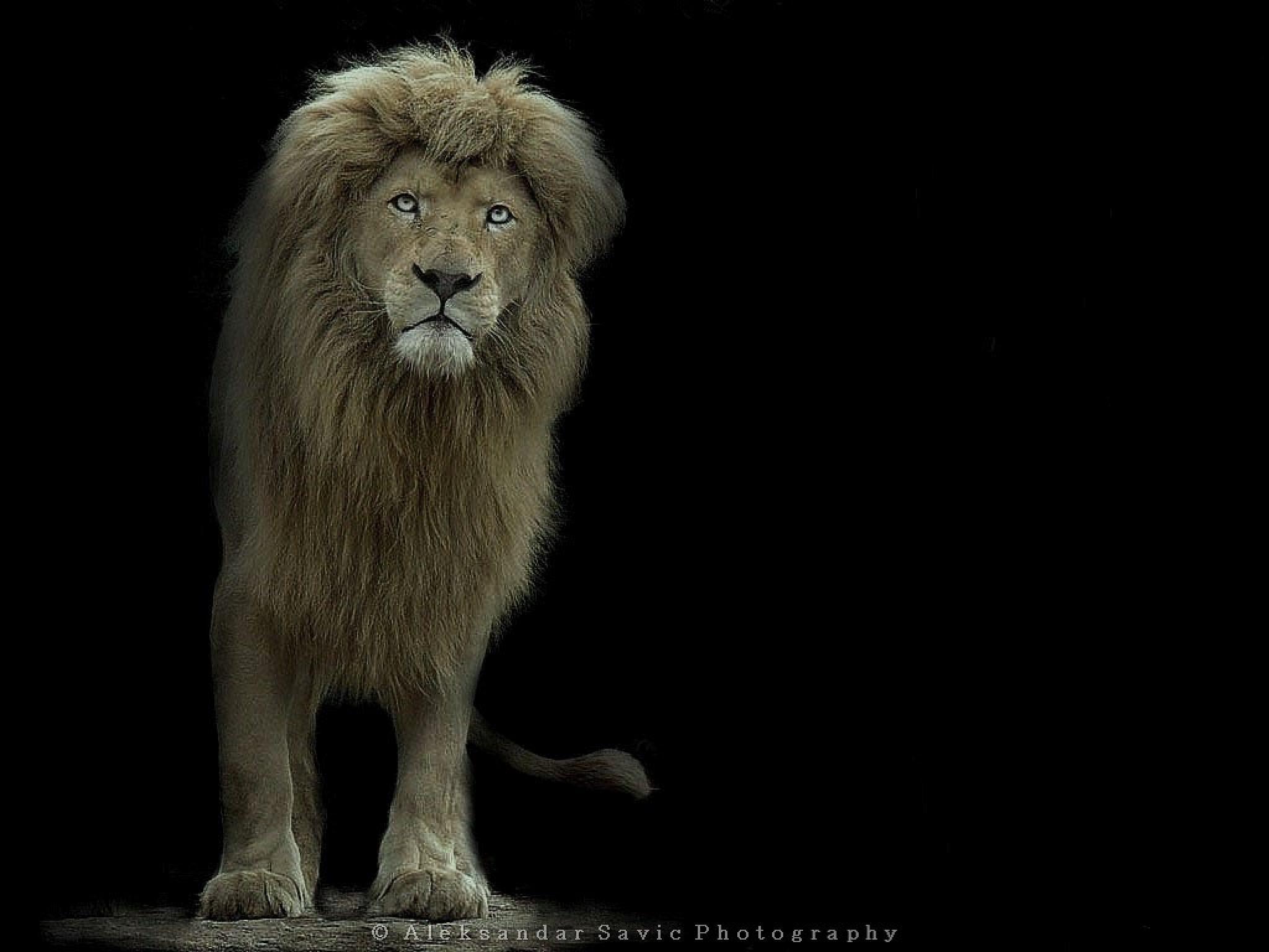 Lion by Aleksandar Savic