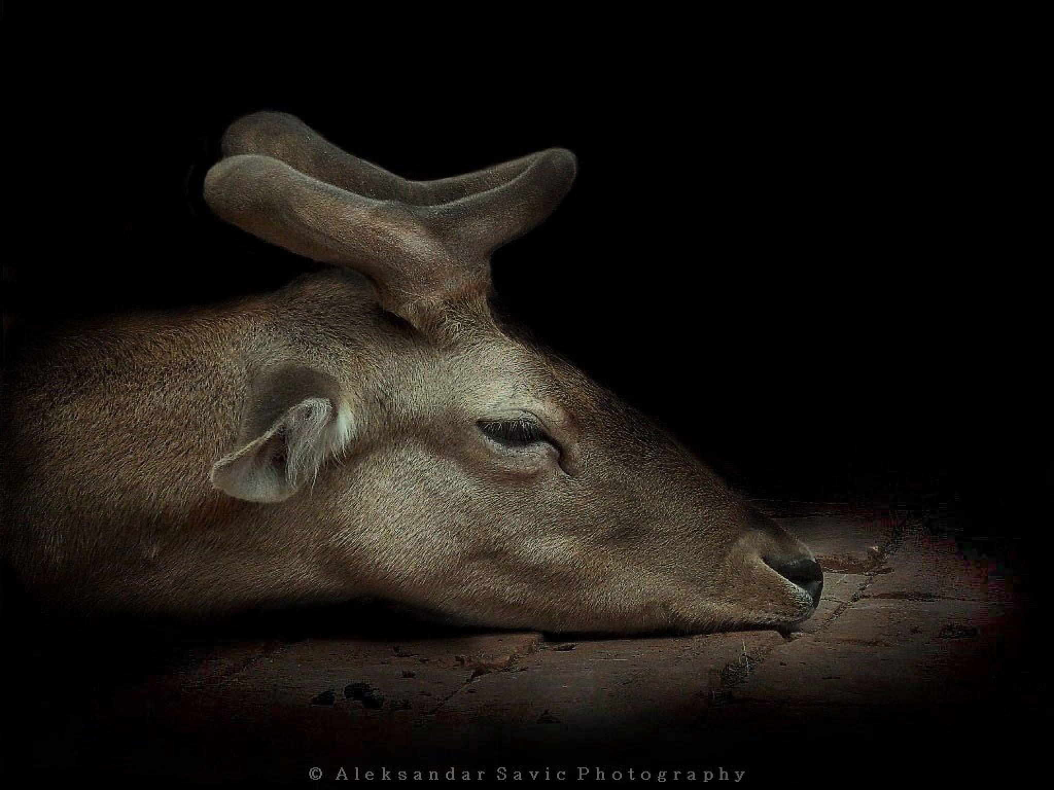 Fallow Deer by Aleksandar Savic
