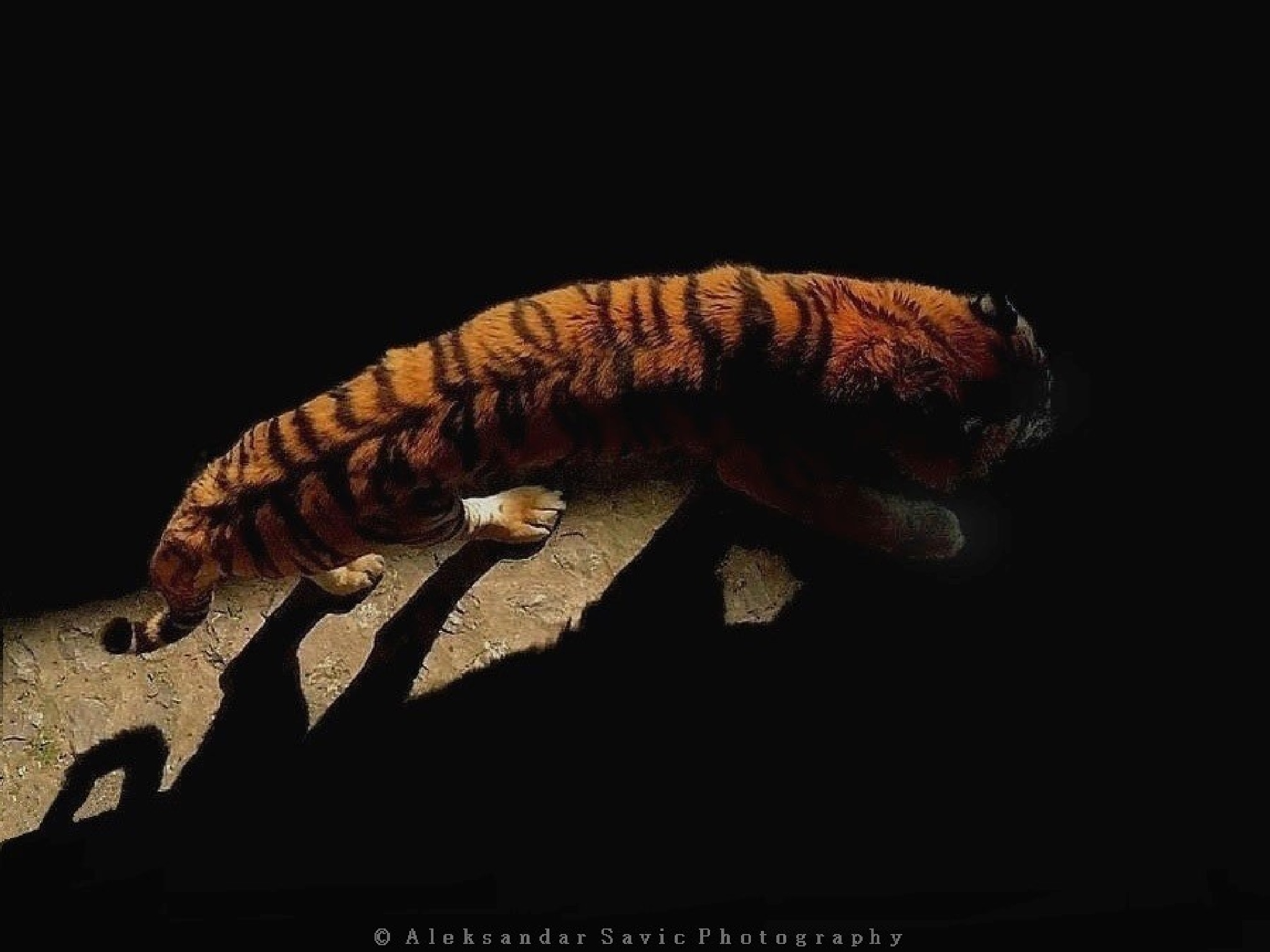 Siberian Tiger by Aleksandar Savic