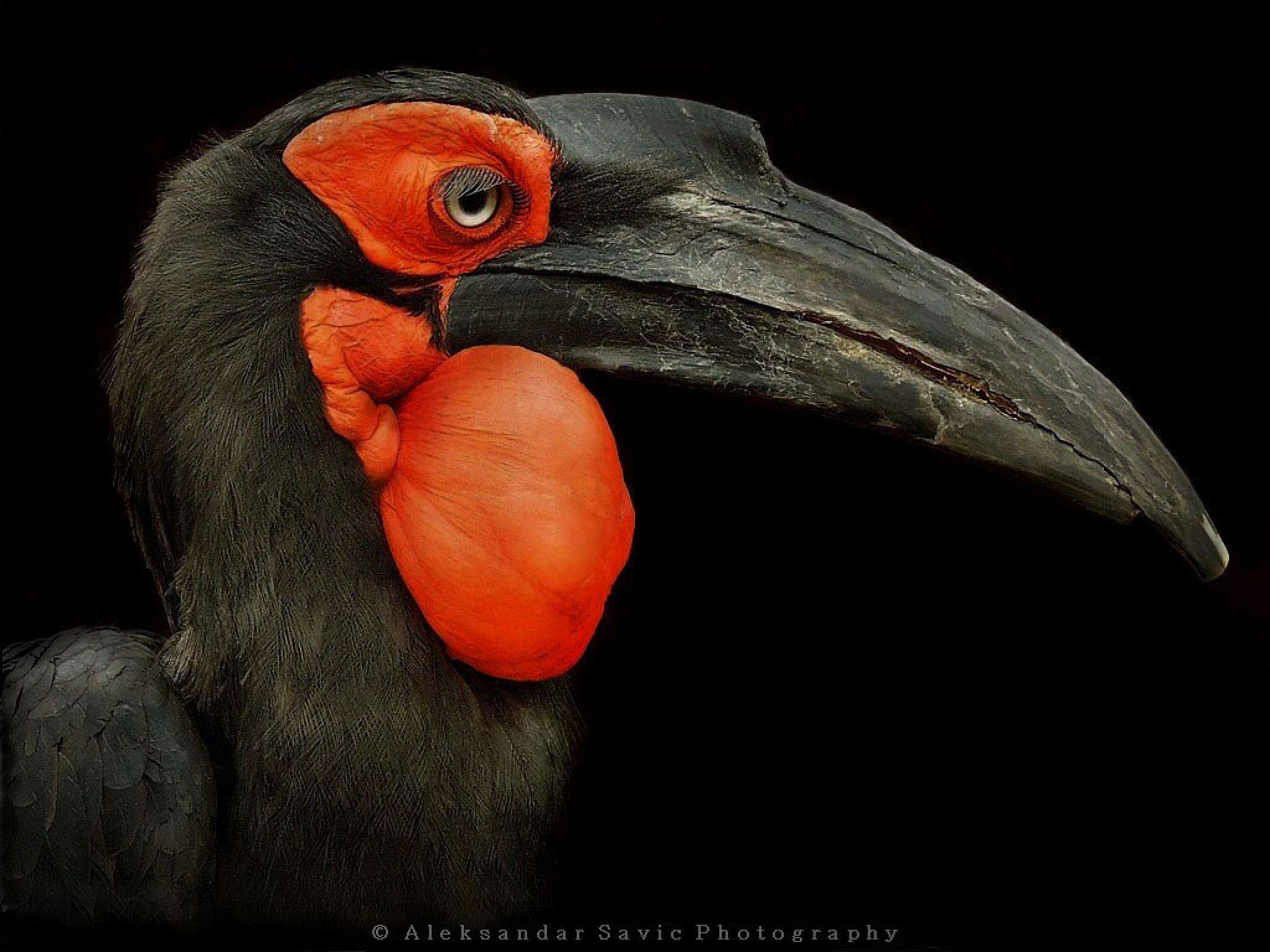 Southern Ground Hornbill by Aleksandar Savic