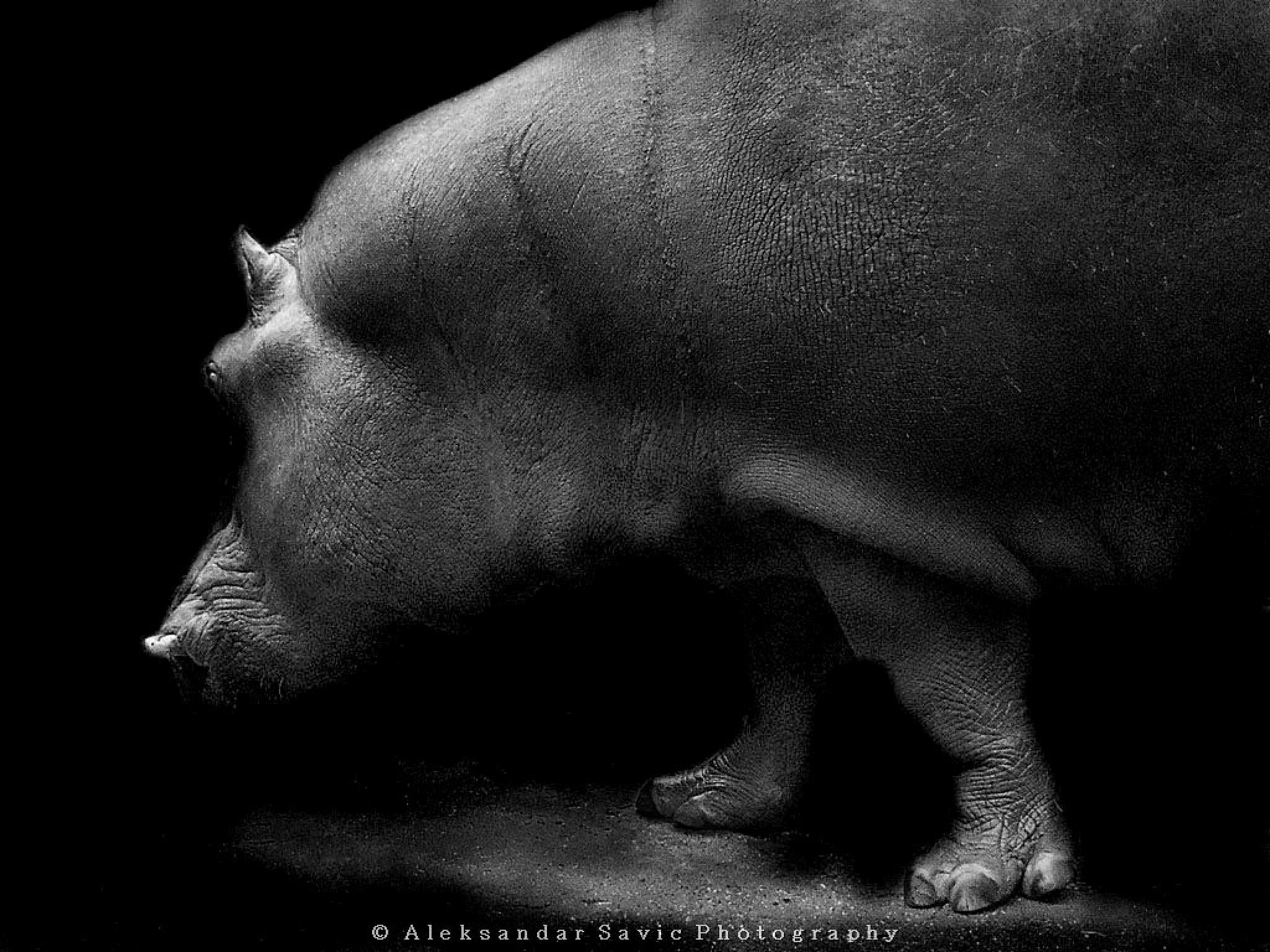 Hippo by Aleksandar Savic