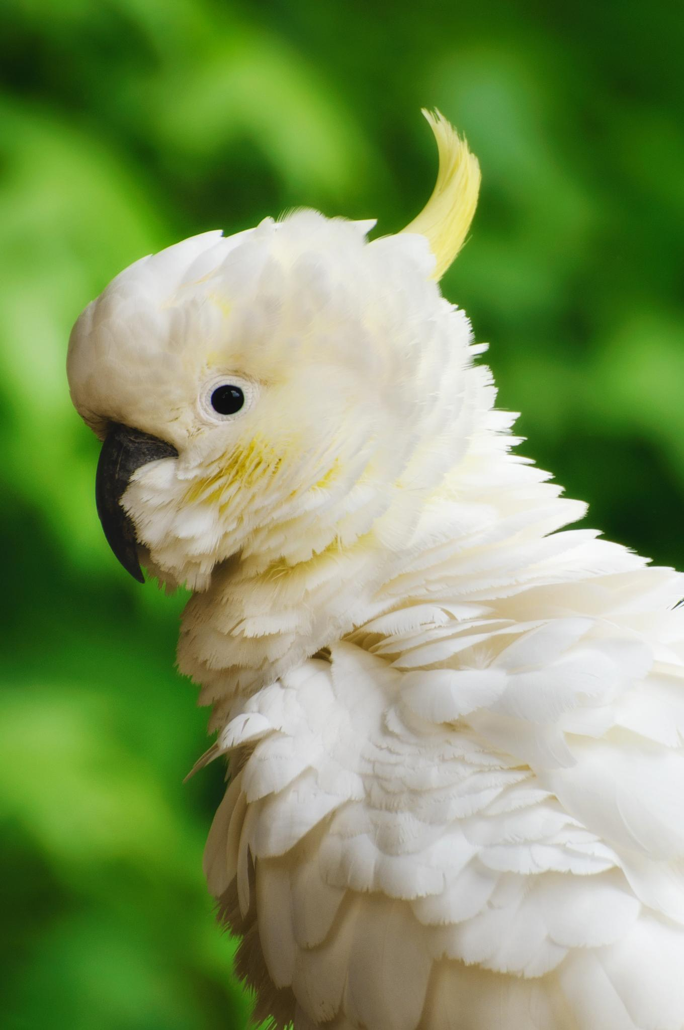 Sulphur-crested Cockatoo by Jacqueline Barkla