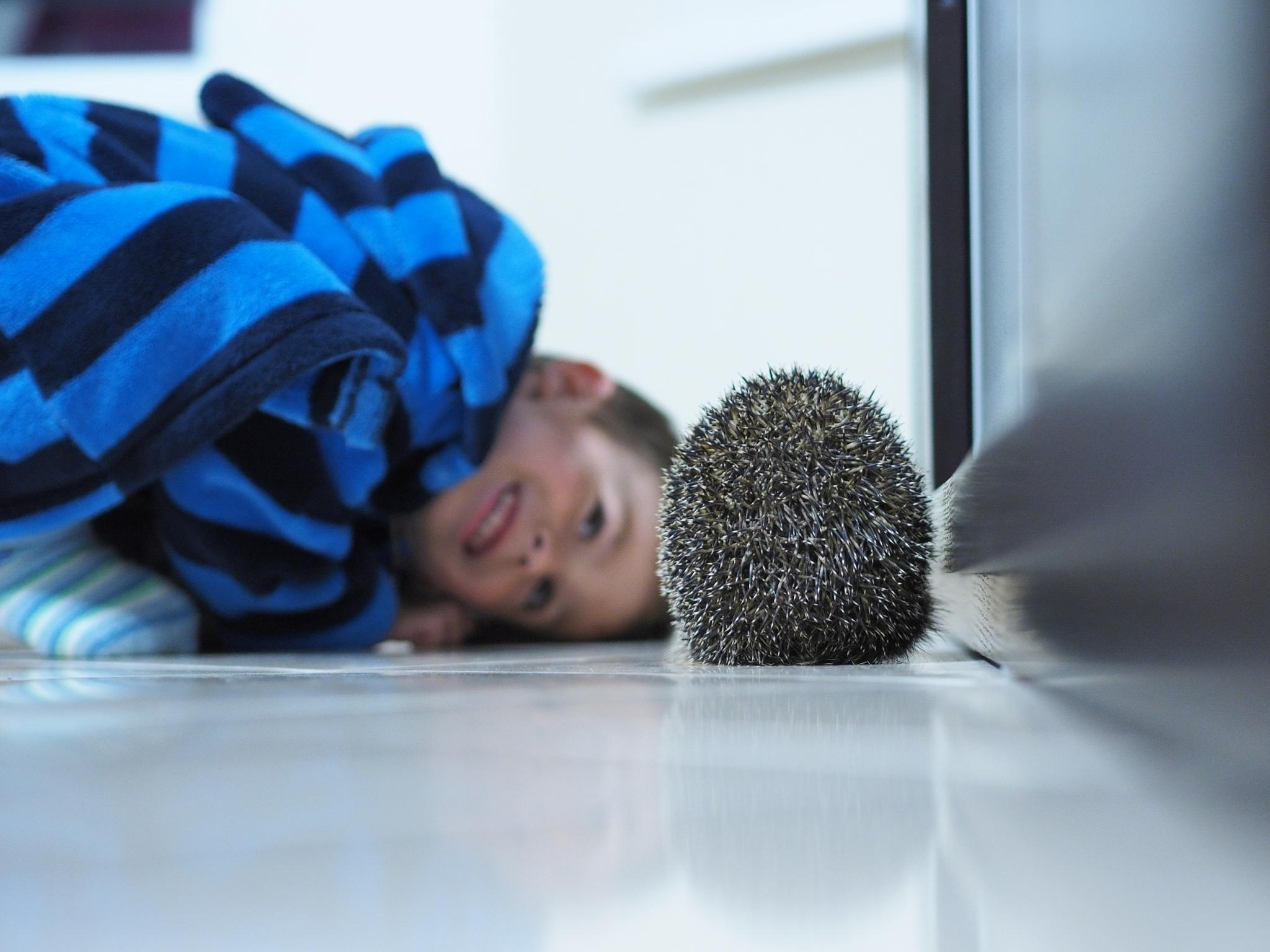 Hedgehog guest by Igor Marach