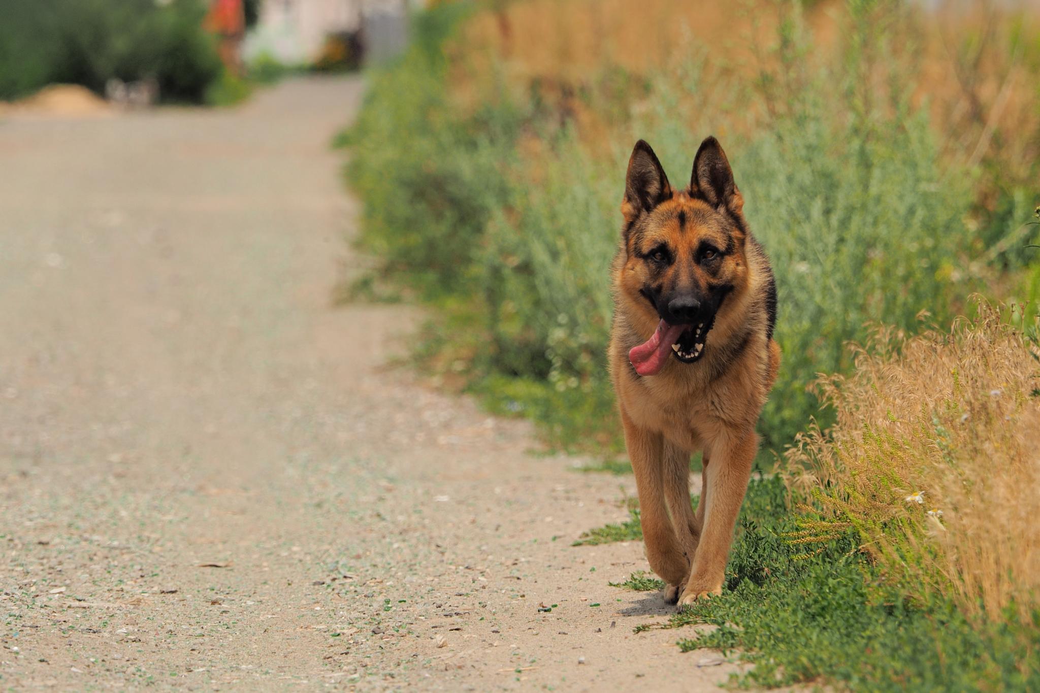Photo in Animal #german shepherd #dog #road