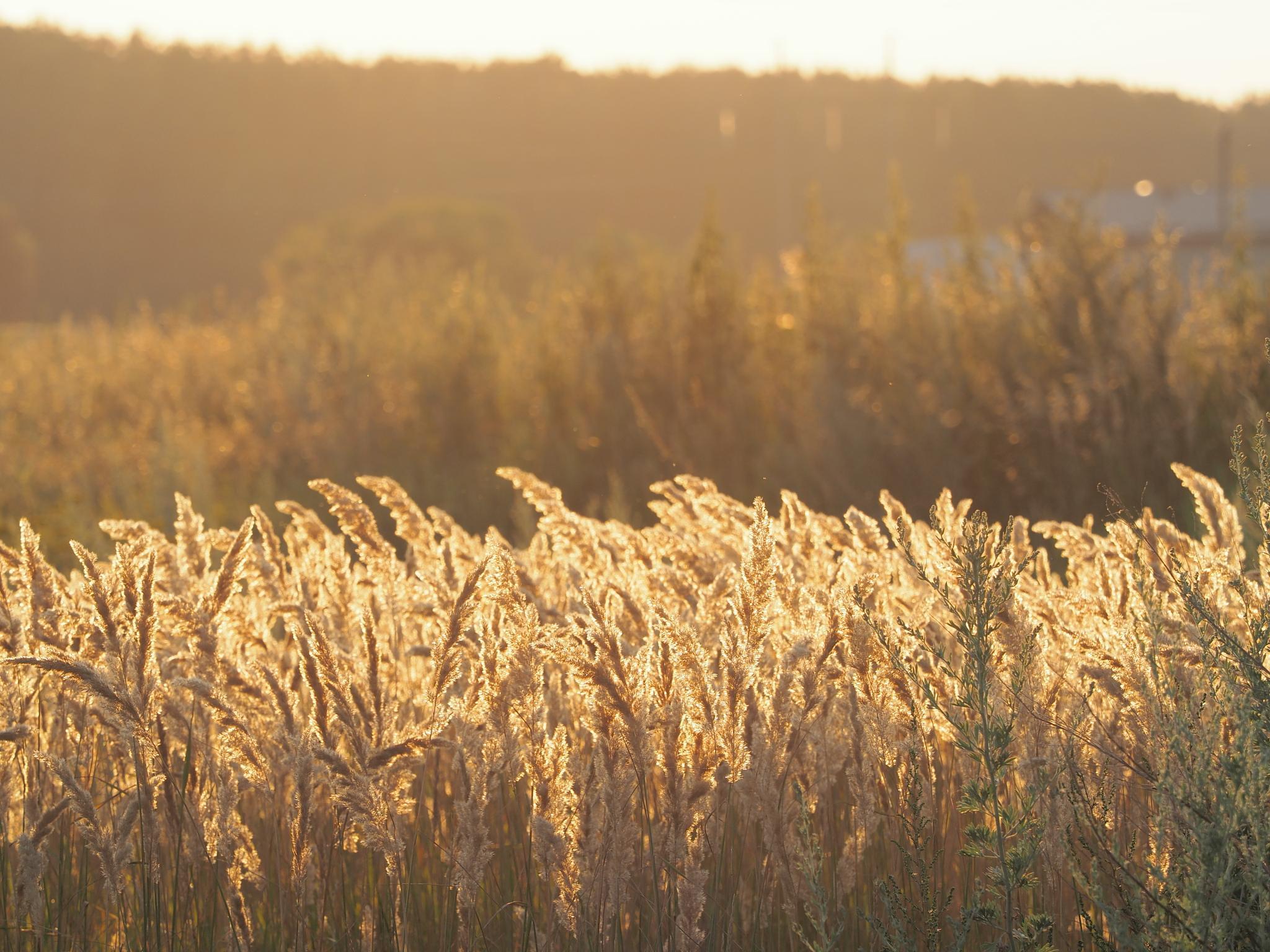 Golden fields by Igor Marach