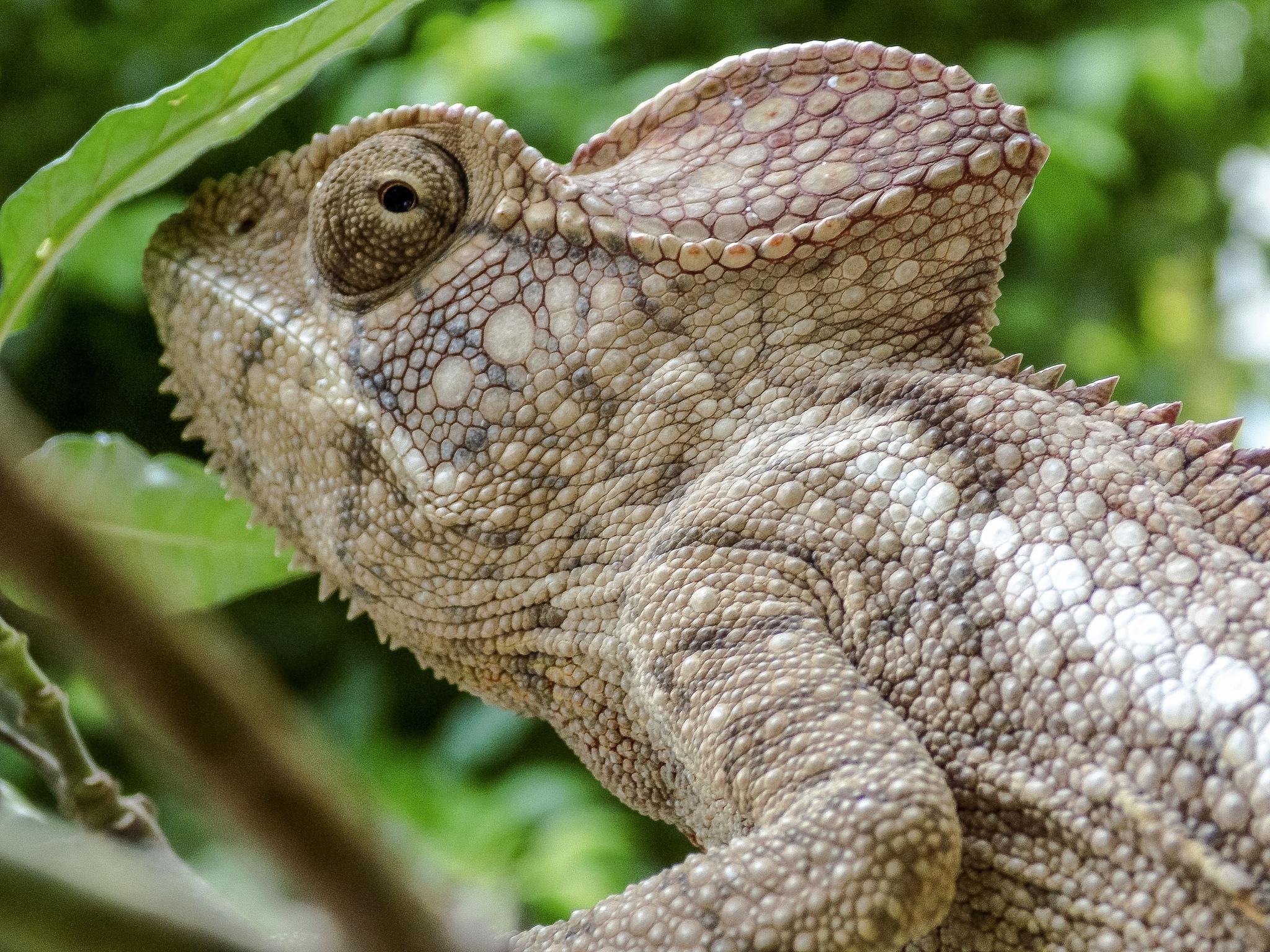a chameleon by Cesare Vatrano