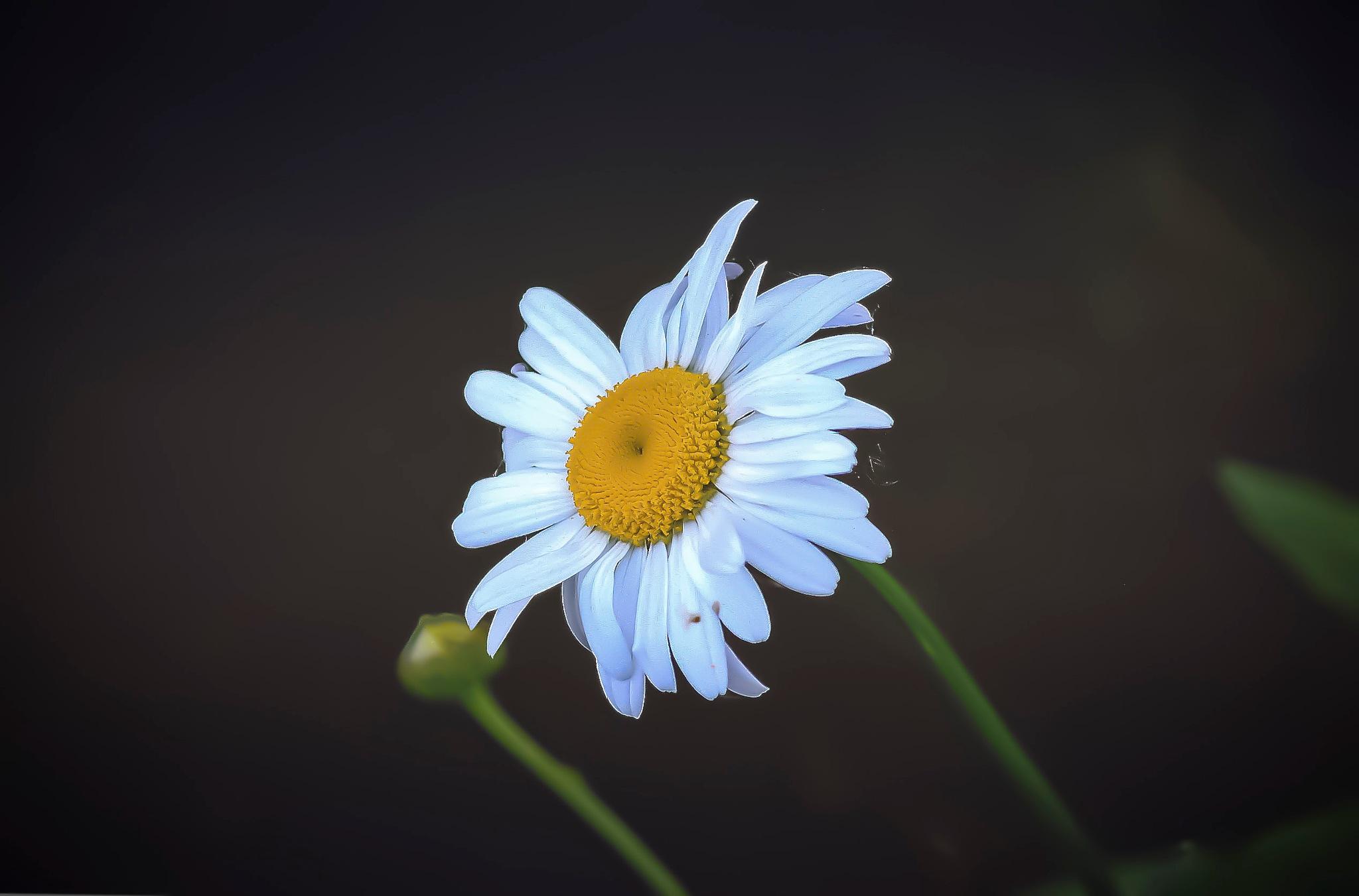 tiny little flower by Cesare Vatrano