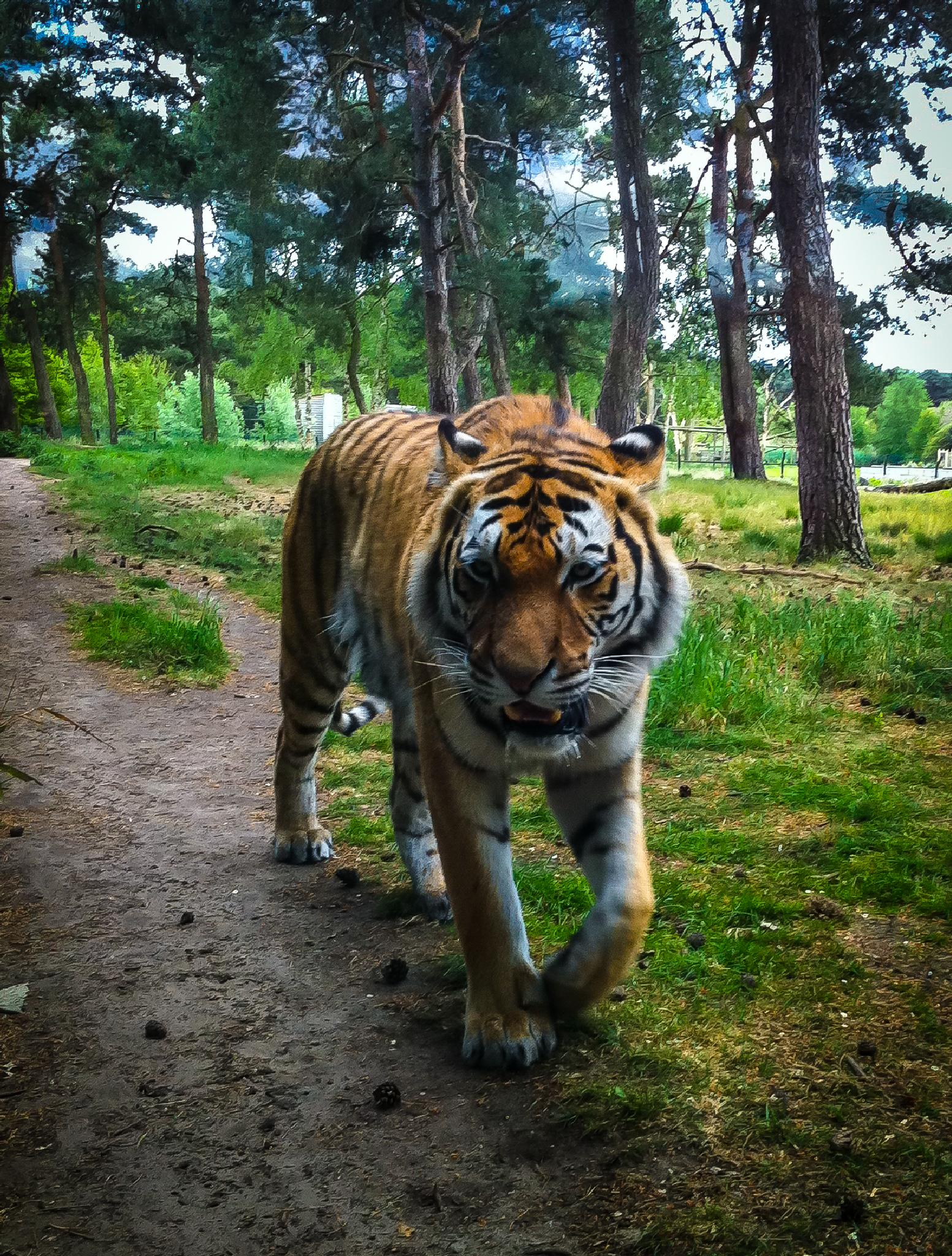 Tiger by Sybo Lans