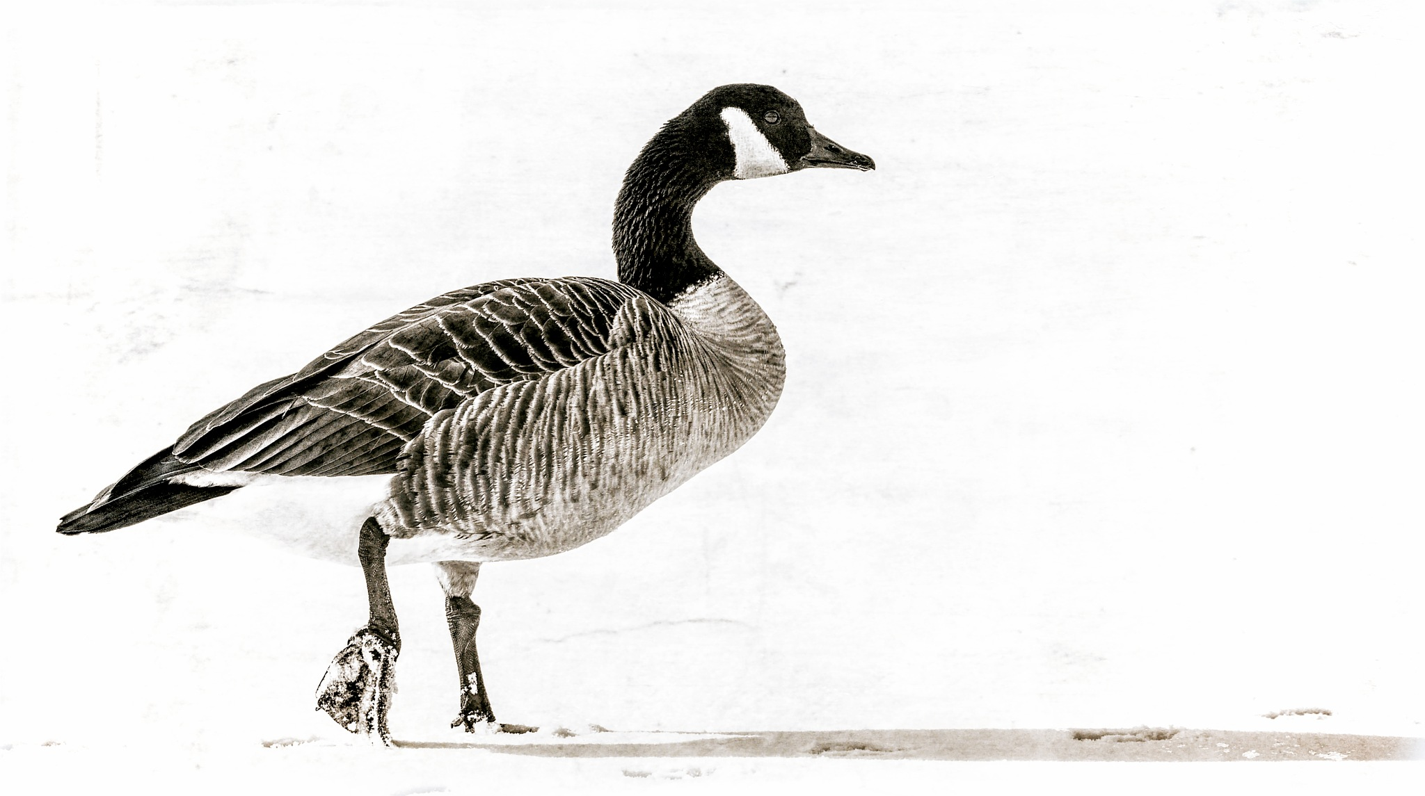 Goose Three by JohnEllingson