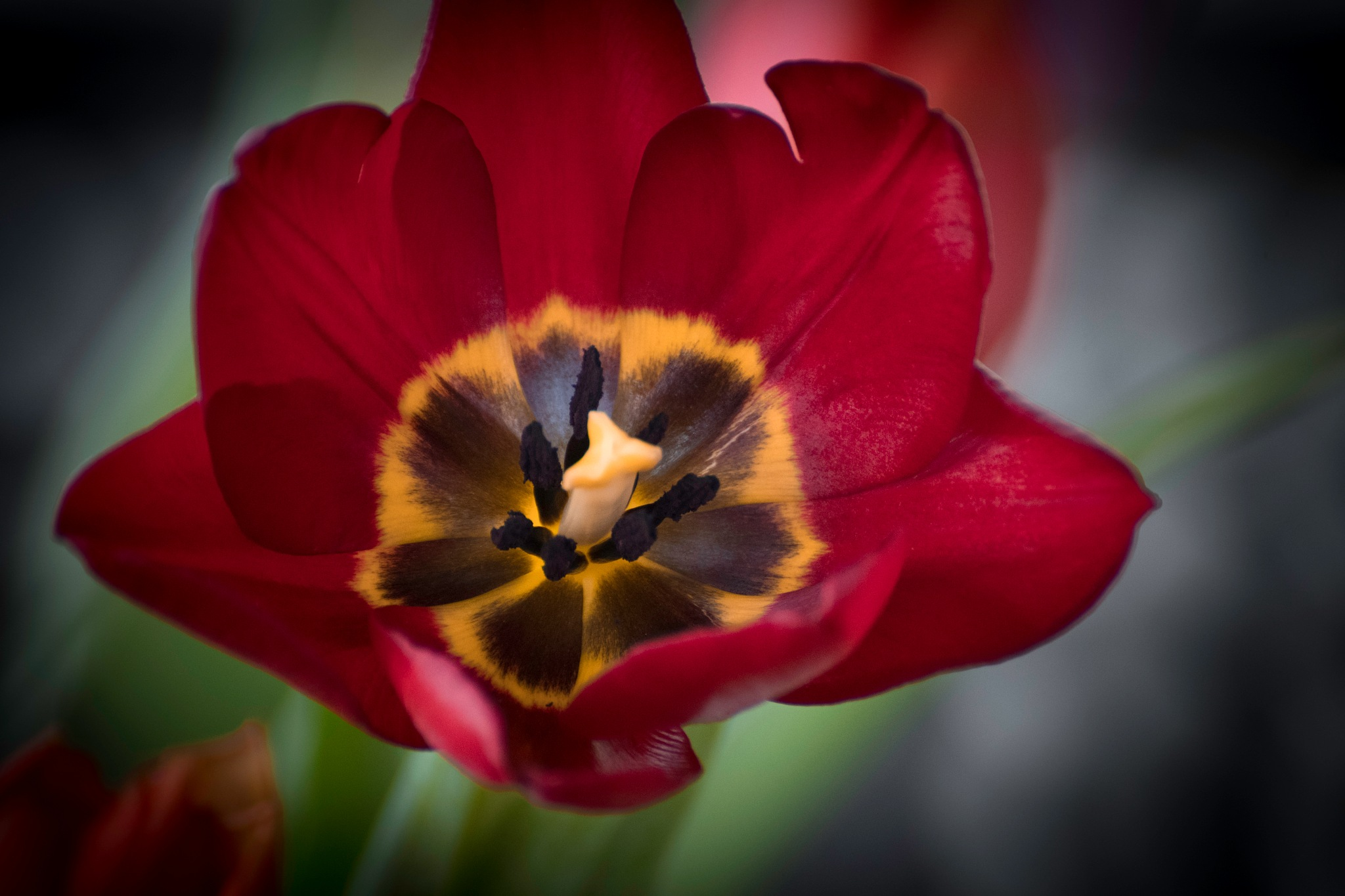 Tulip Time 14 by JohnEllingson