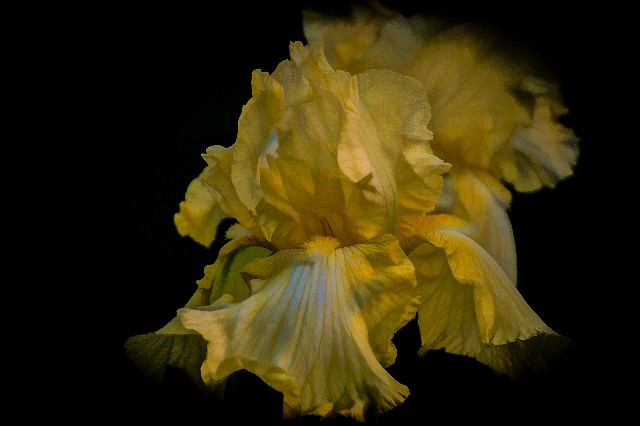 It's Still Iris Time 1 by JohnEllingson