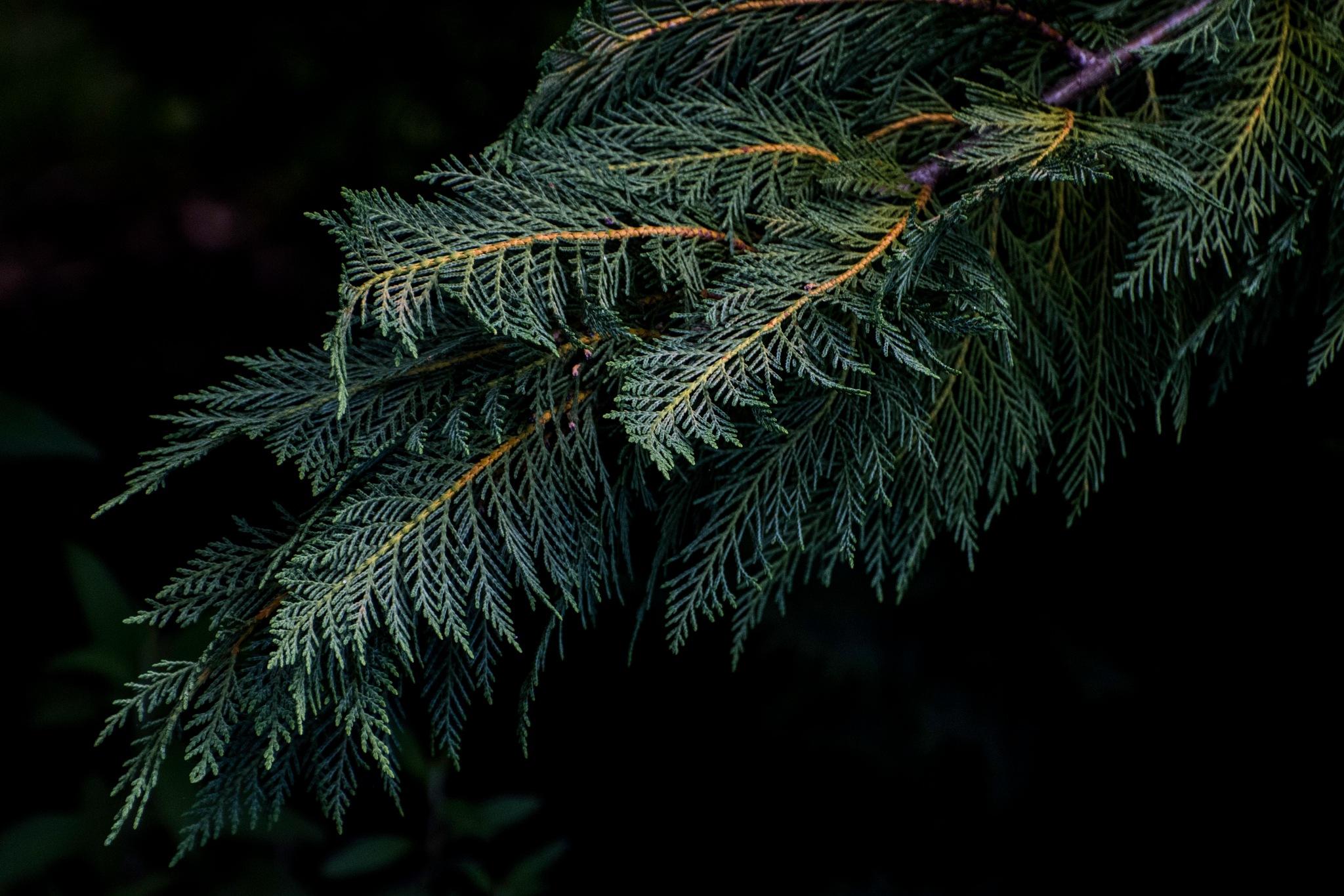 Cedar by JohnEllingson