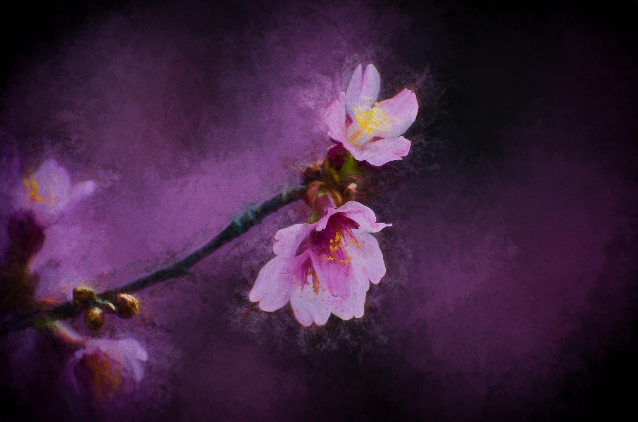 Cherry Blossoms 48 by JohnEllingson
