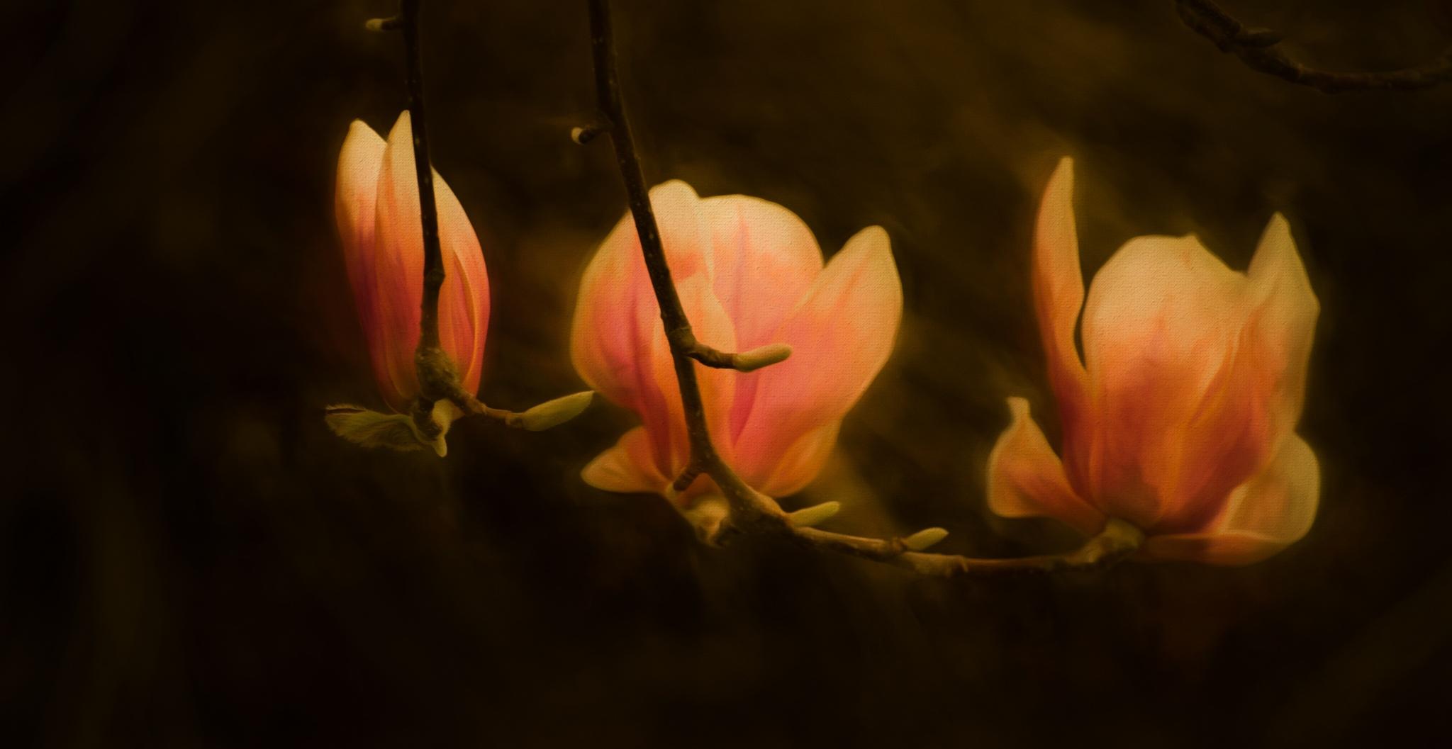 Magnolia Dreams 432 by JohnEllingson