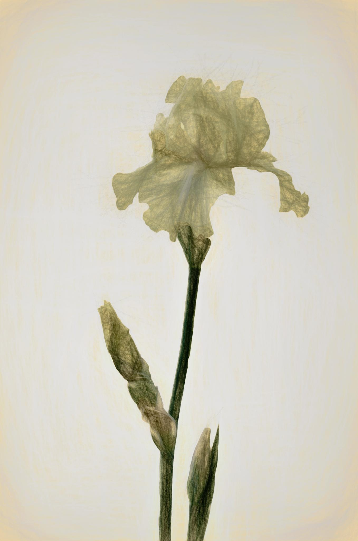 Iris Sketch by JohnEllingson