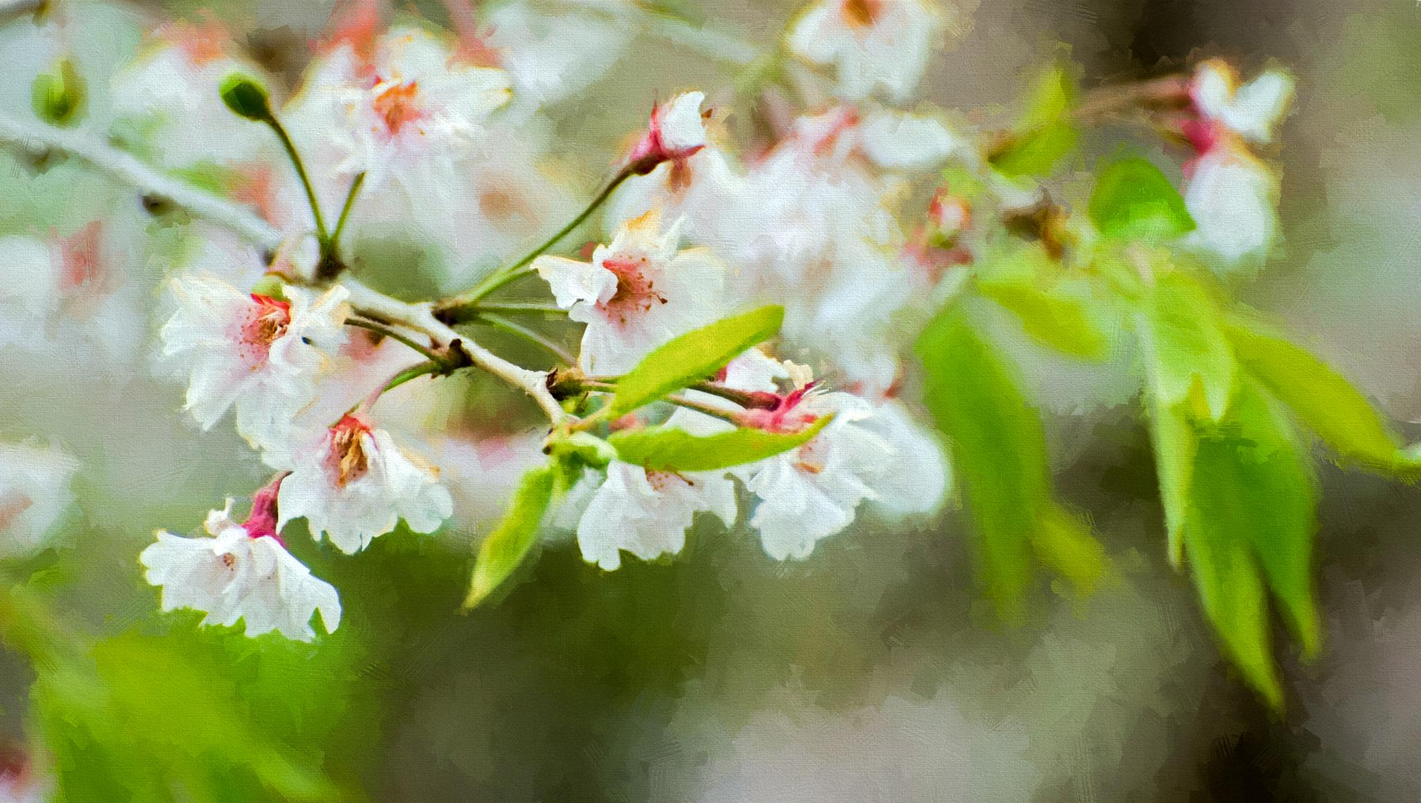 Dancing Cherry Blossoms by JohnEllingson