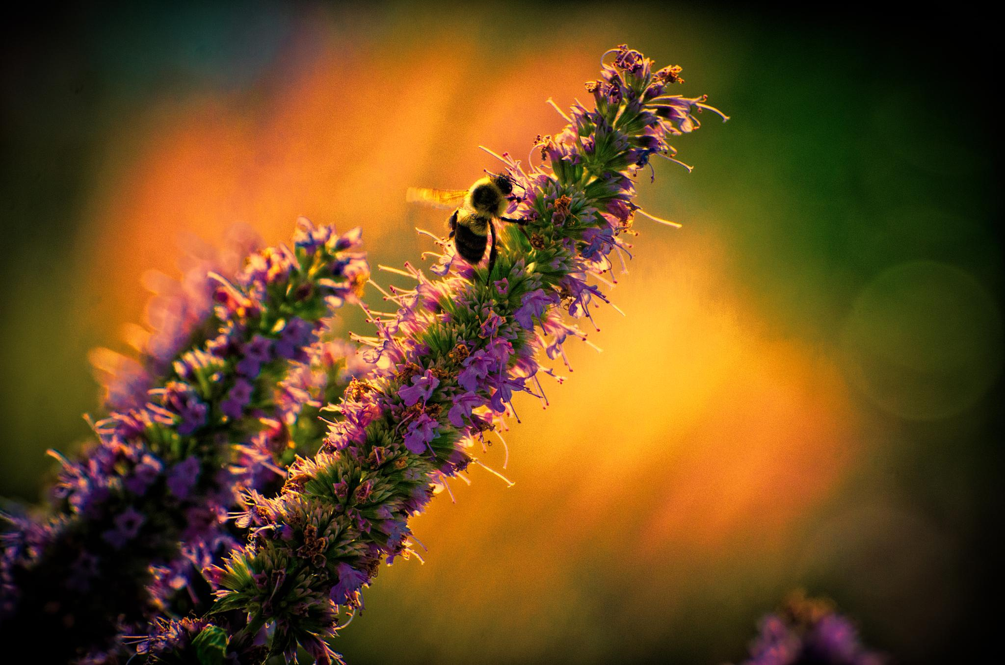 Dawn Bee by JohnEllingson
