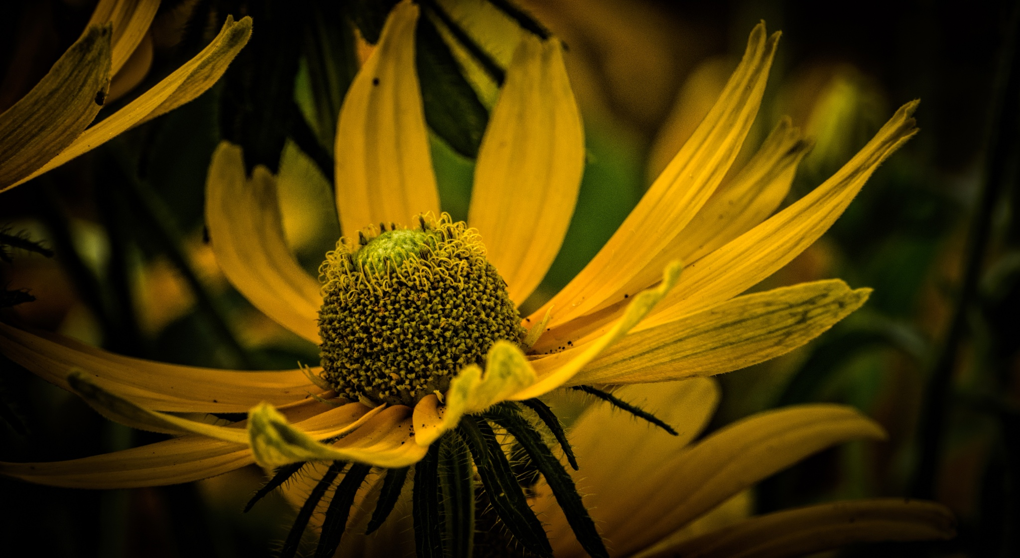 Coneflower Takes Flight by JohnEllingson