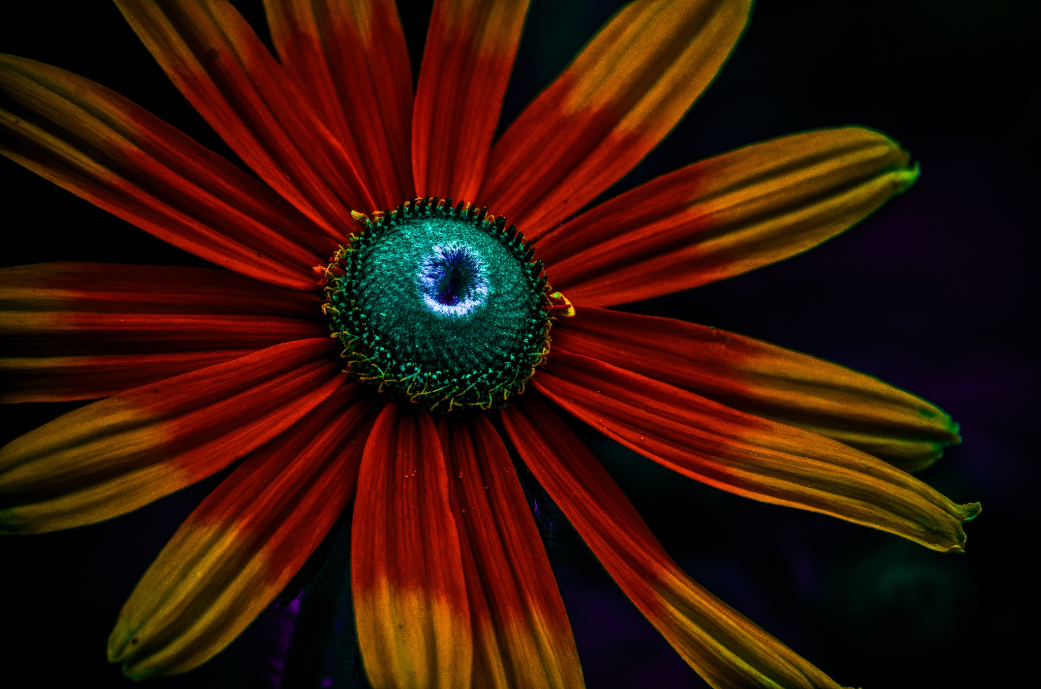 Coneflower All Dressed Up by JohnEllingson