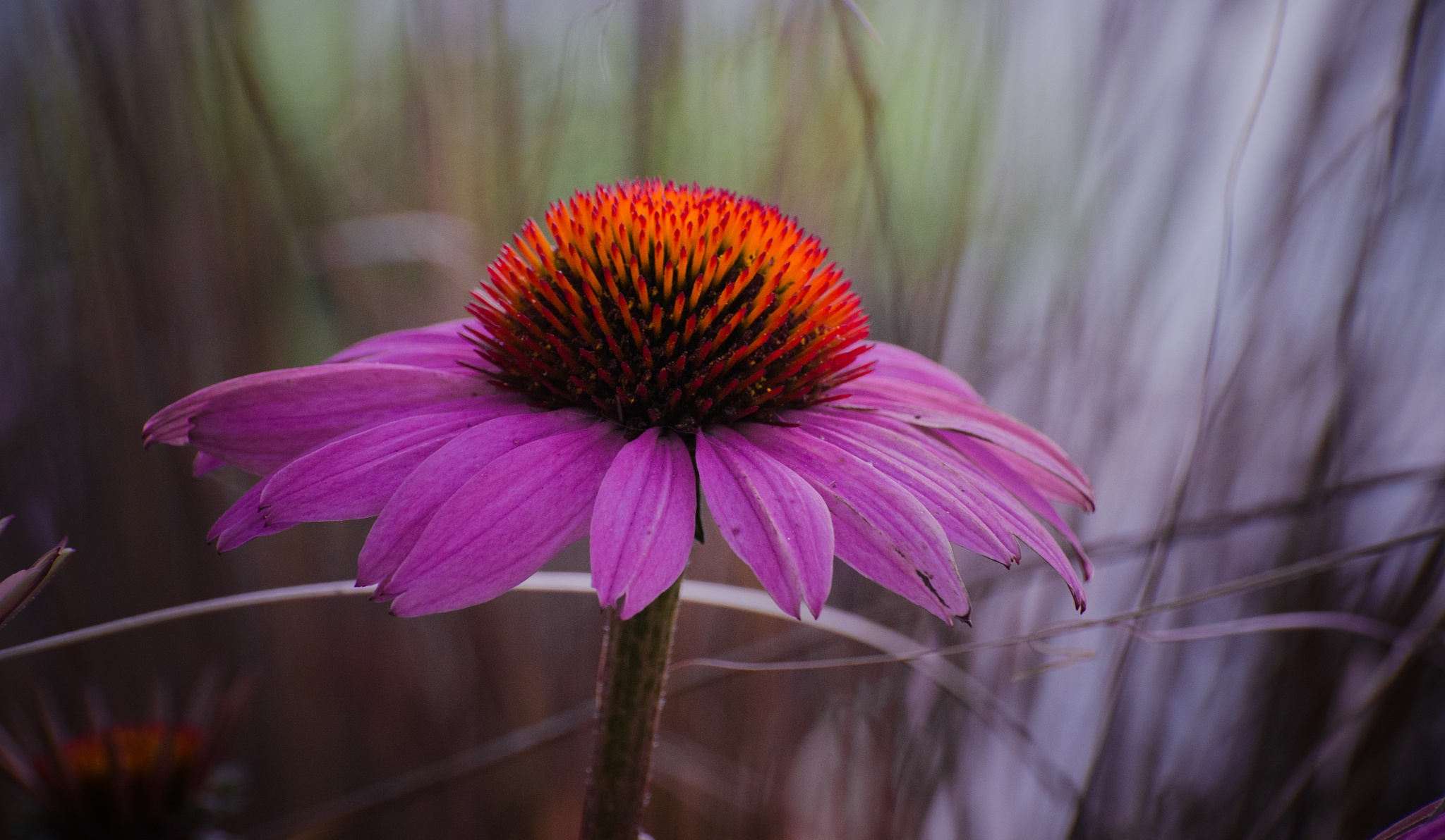 Coneflower Delight X by JohnEllingson