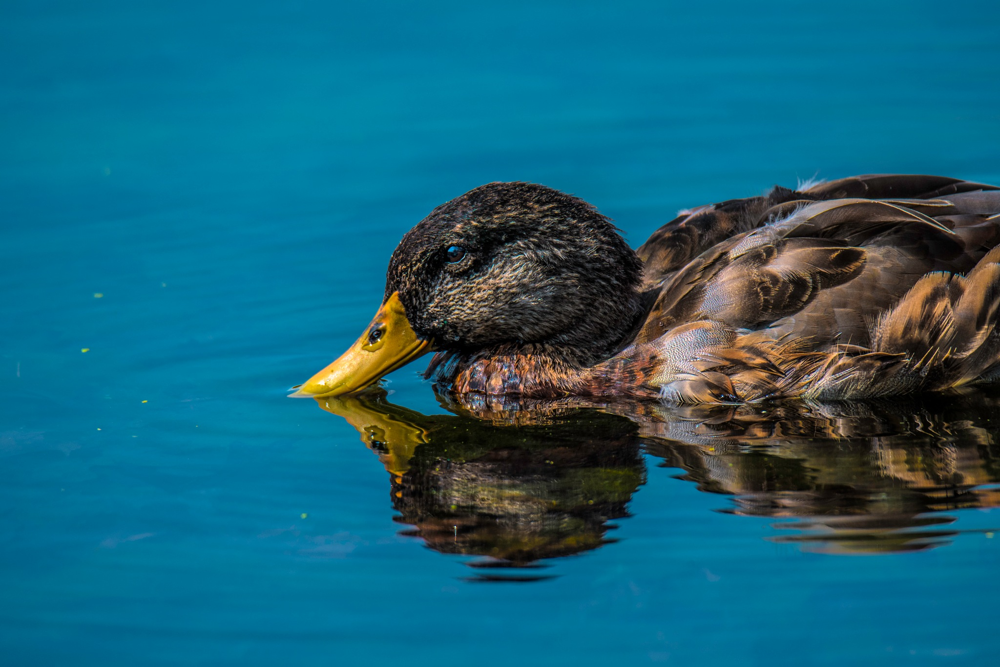 Yellow Bill by JohnEllingson