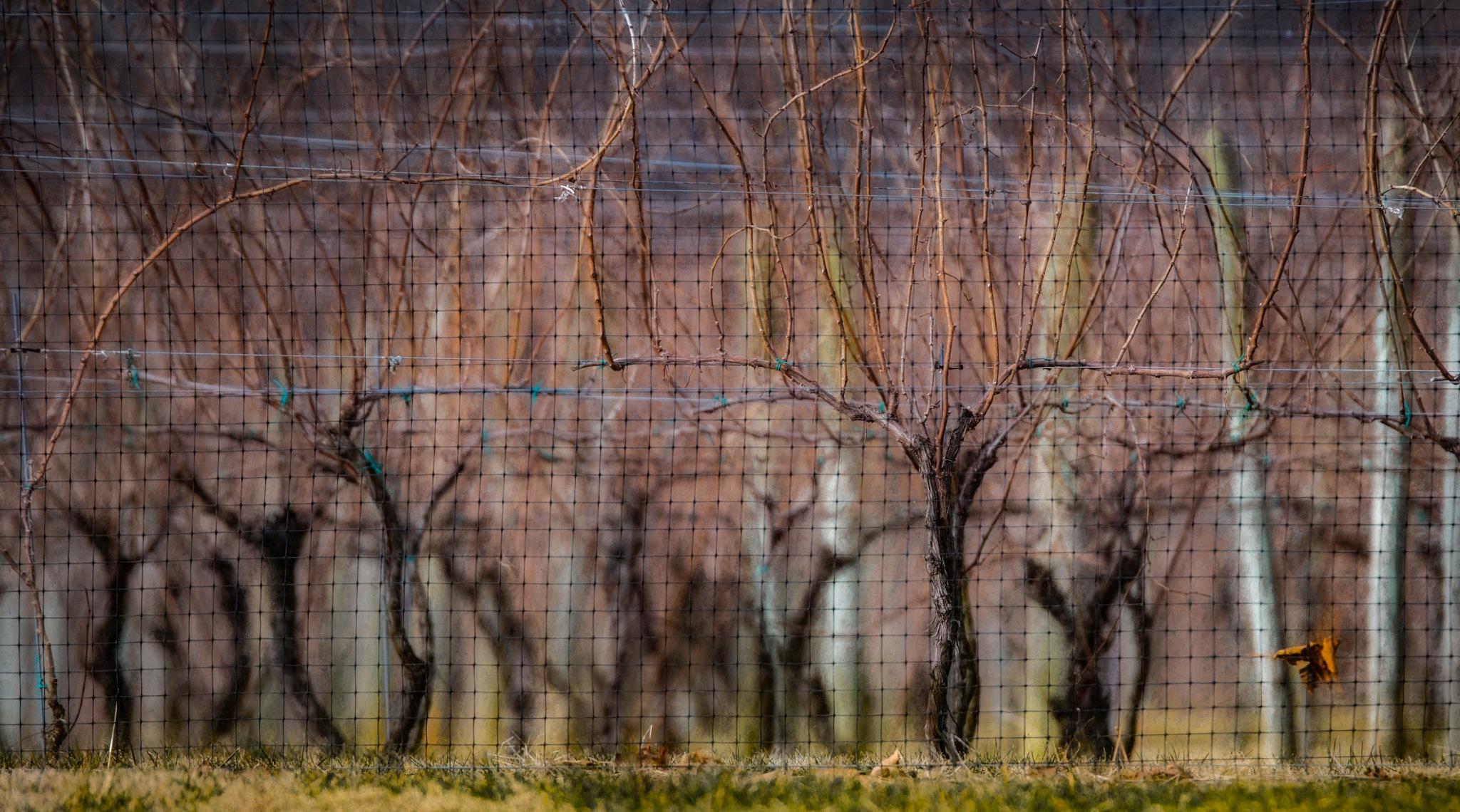 De Vine by JohnEllingson