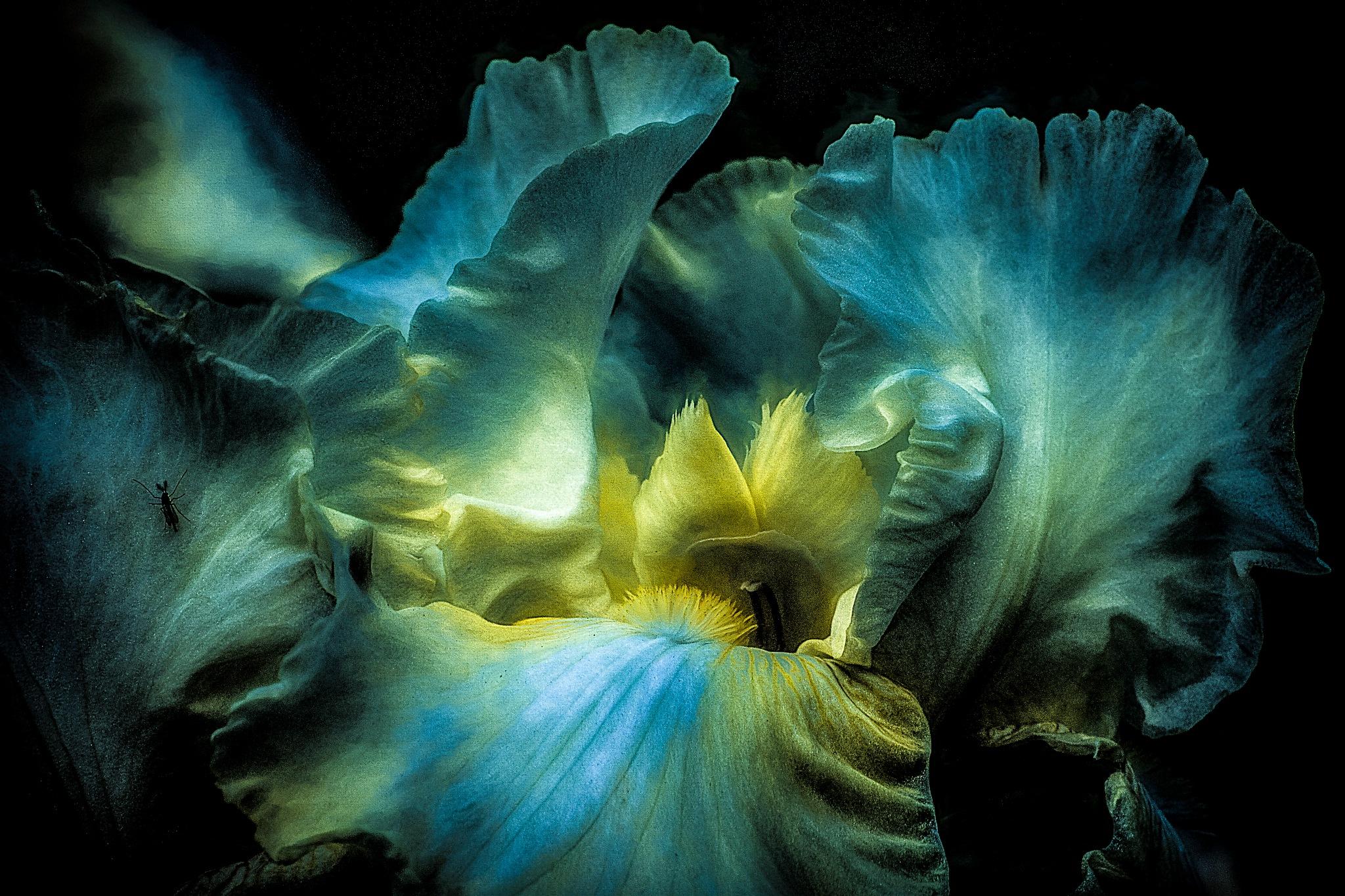 Iris Dream by JohnEllingson