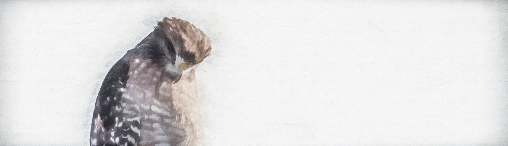 Hawk Sketch 4 by JohnEllingson