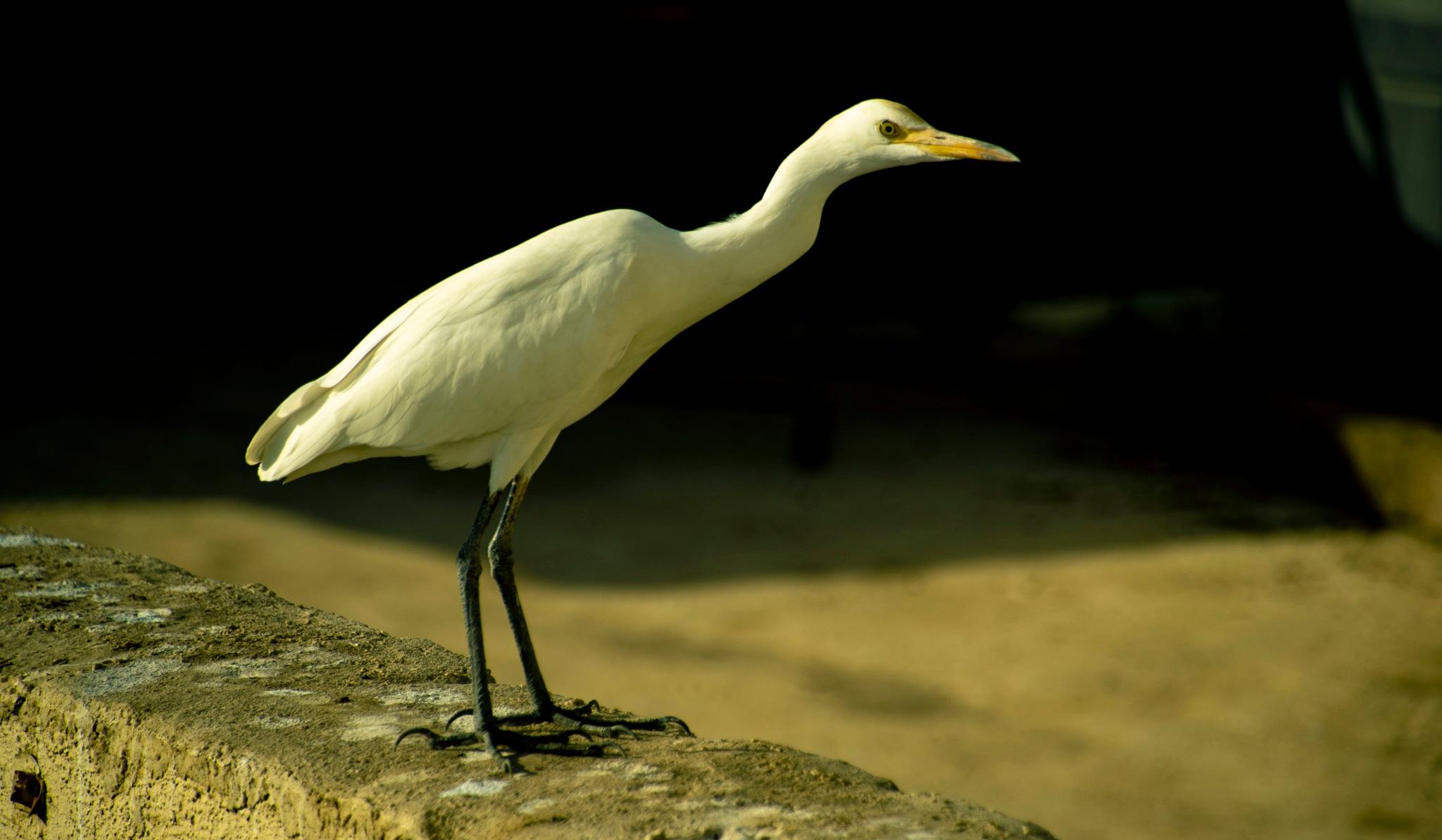 White Bird by Rajesh Pradhan