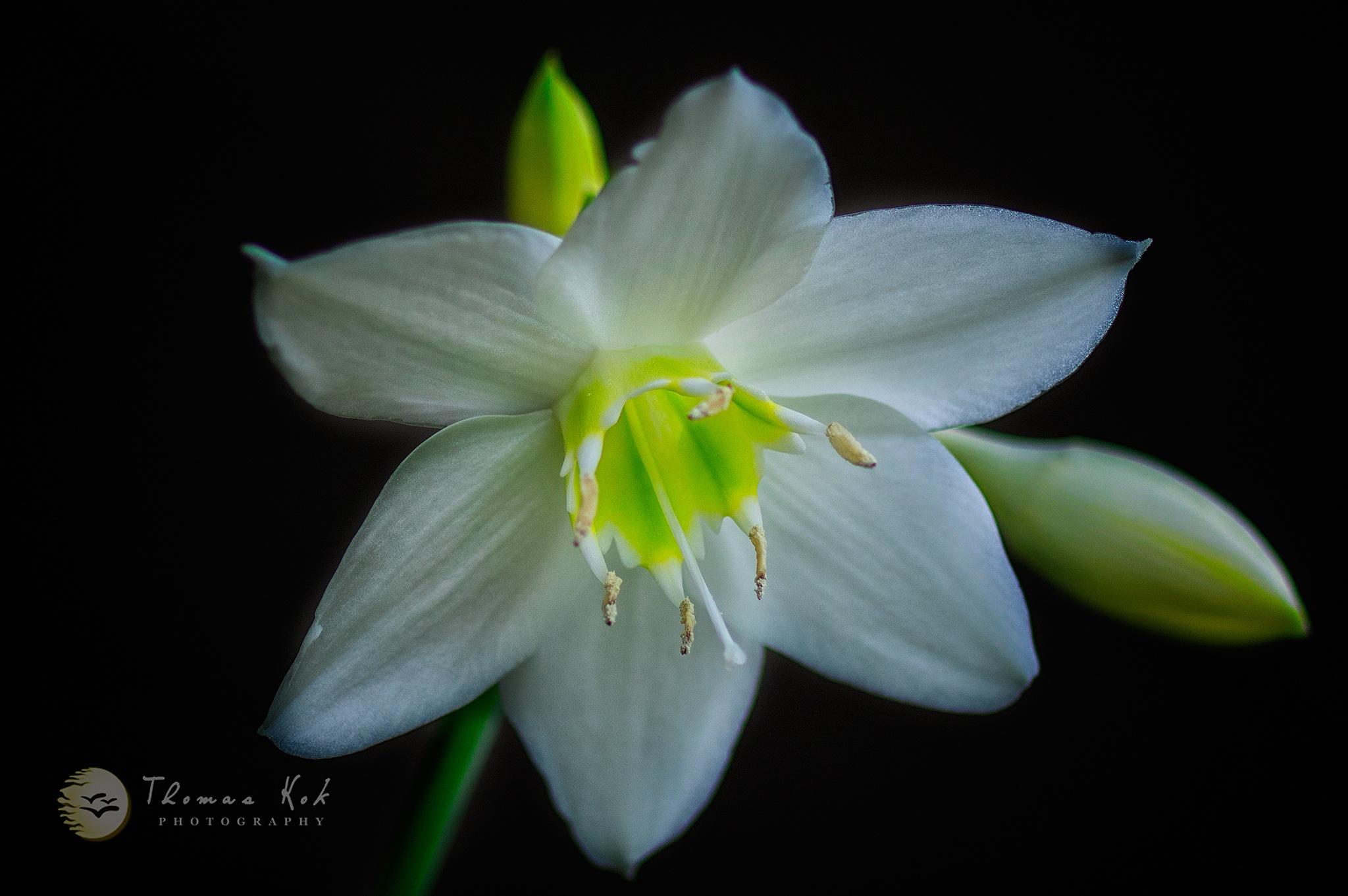 White Lily by Thomas D. Kok