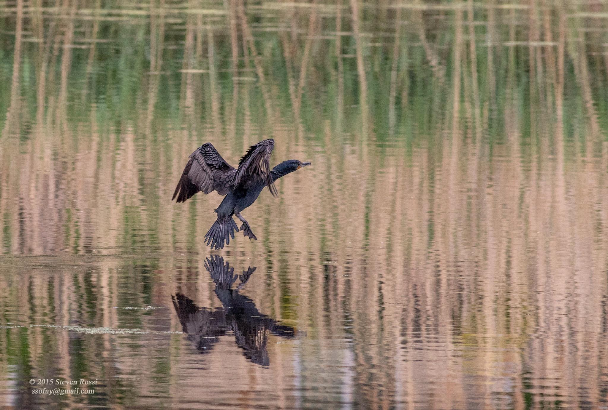 cormorant by Steven Rossi