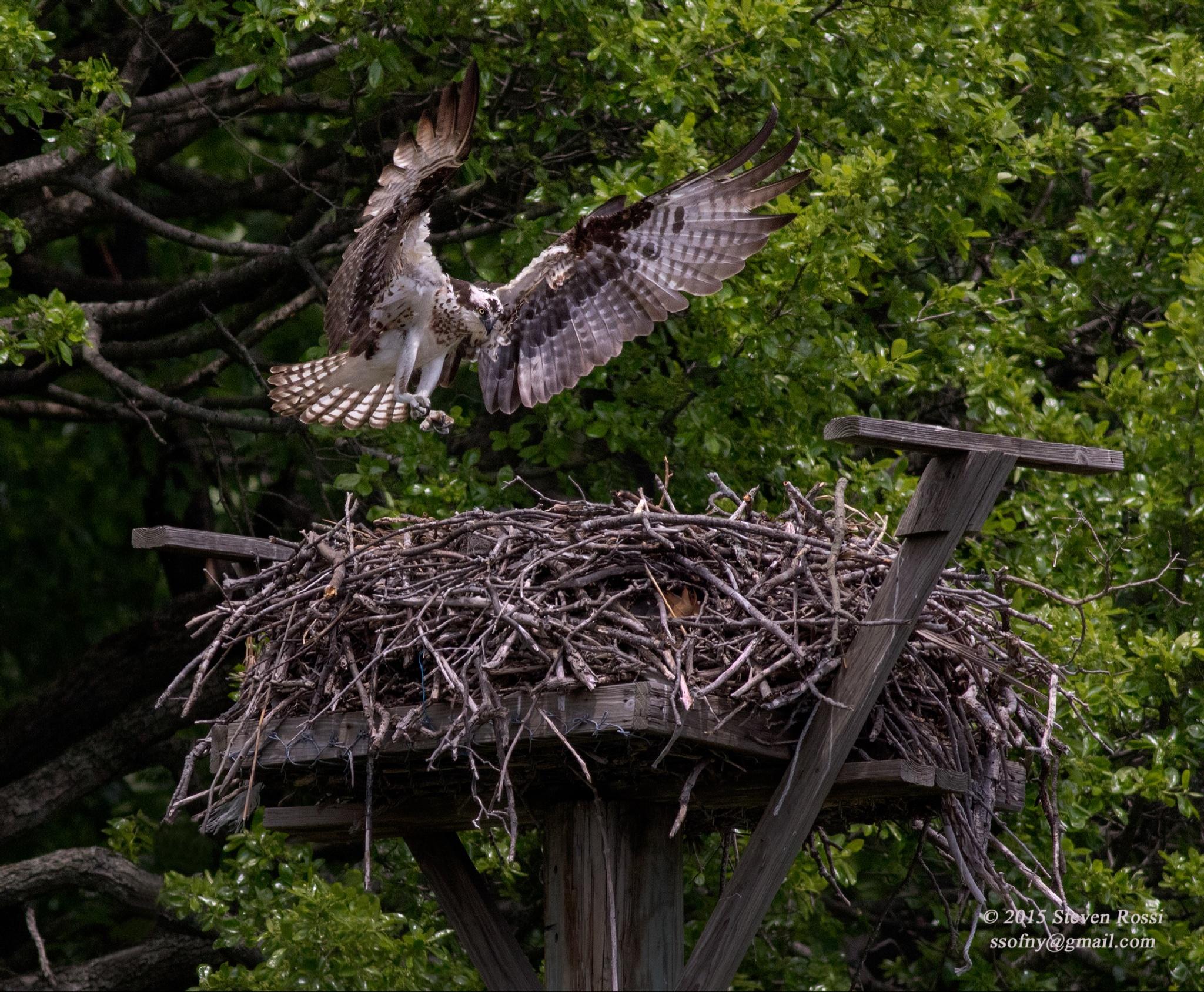 osprey by Steven Rossi