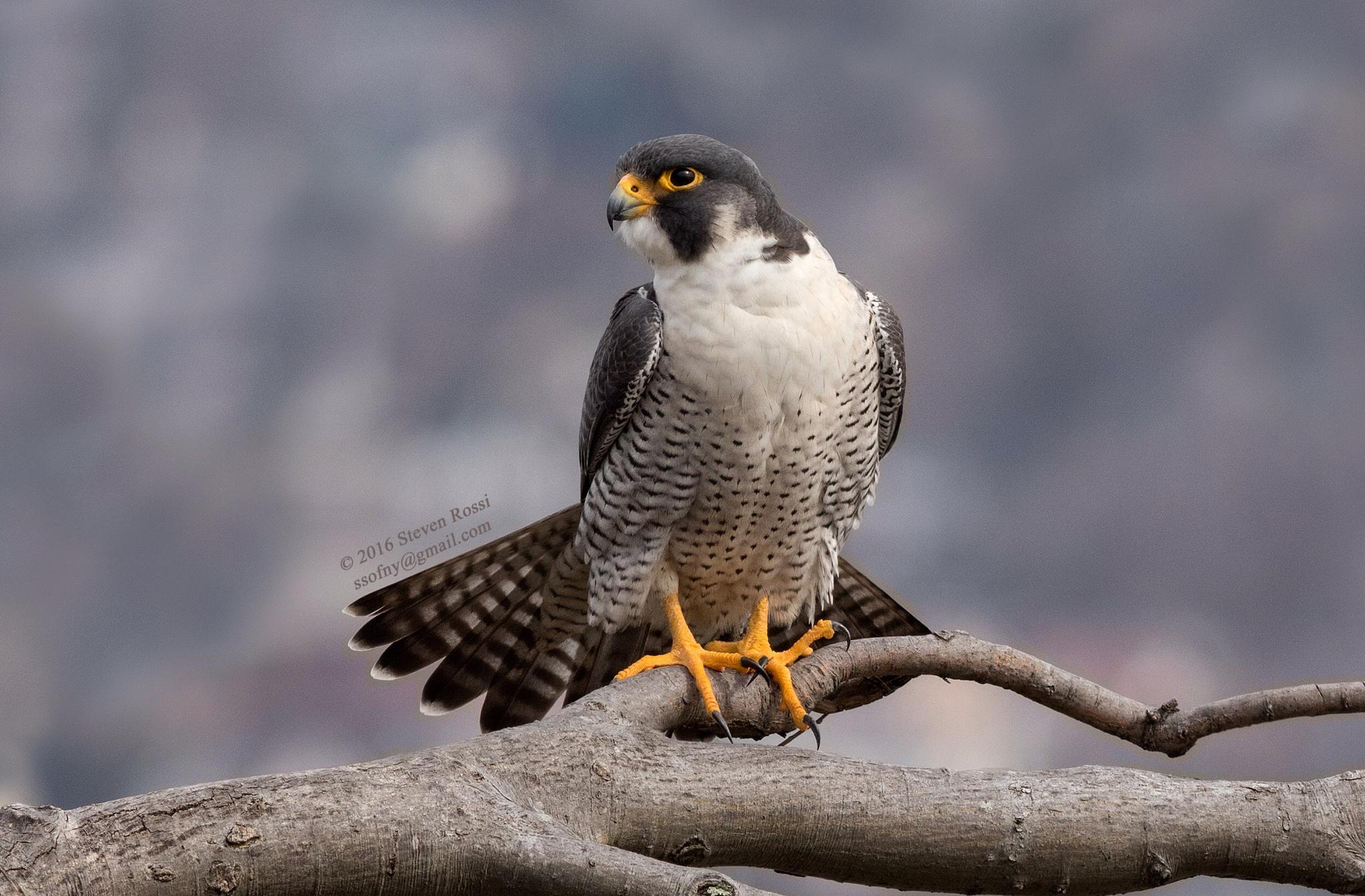 peregrine falcon by Steven Rossi
