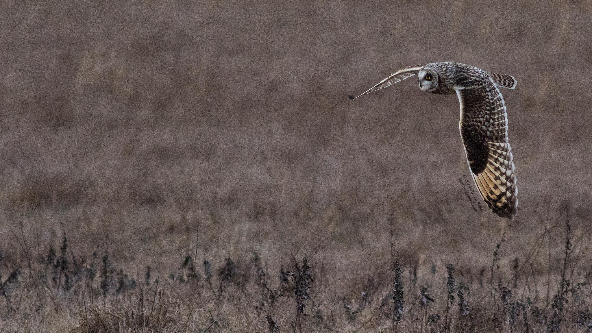 short-eared owl by Steven Rossi