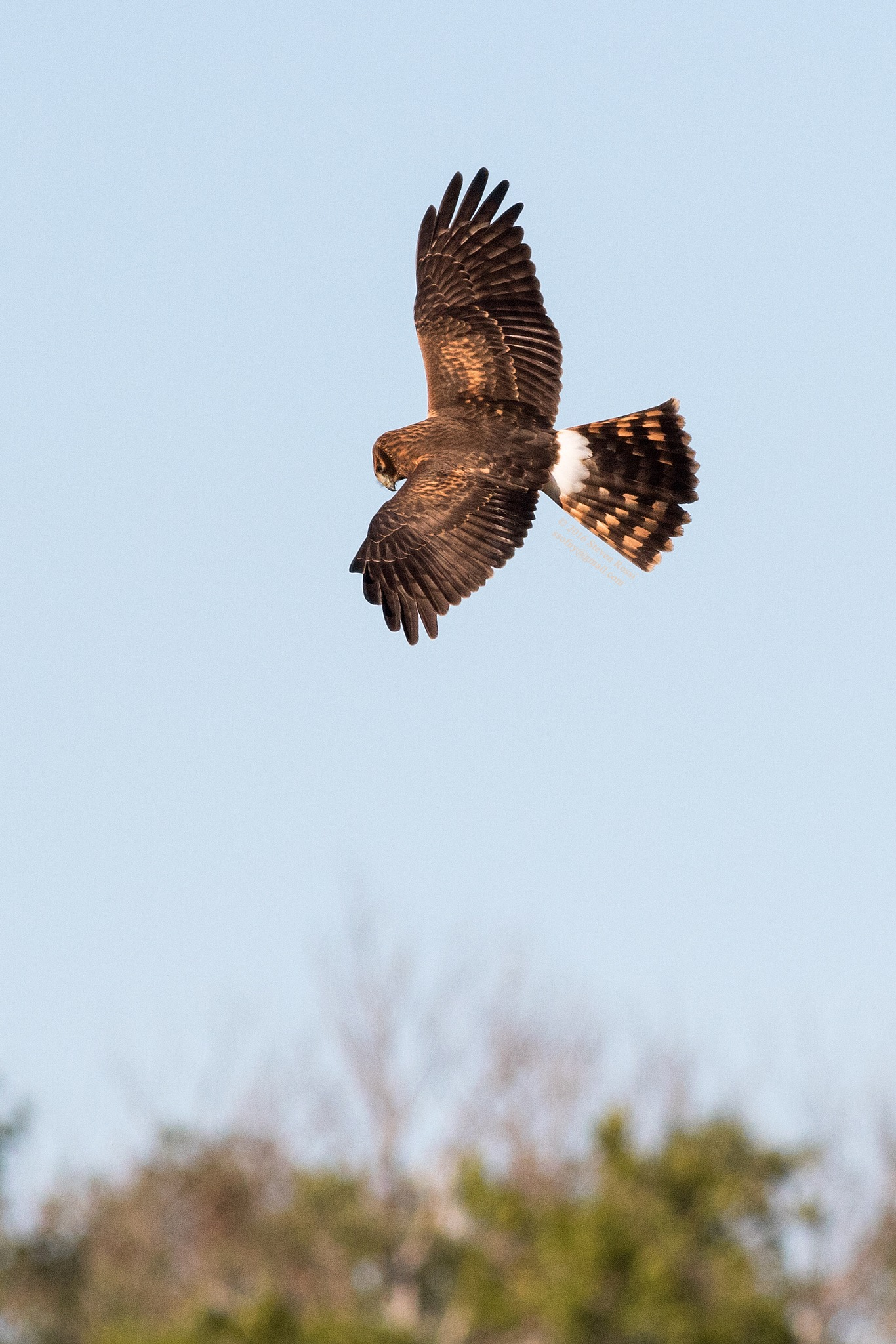 northern harrier by Steven Rossi