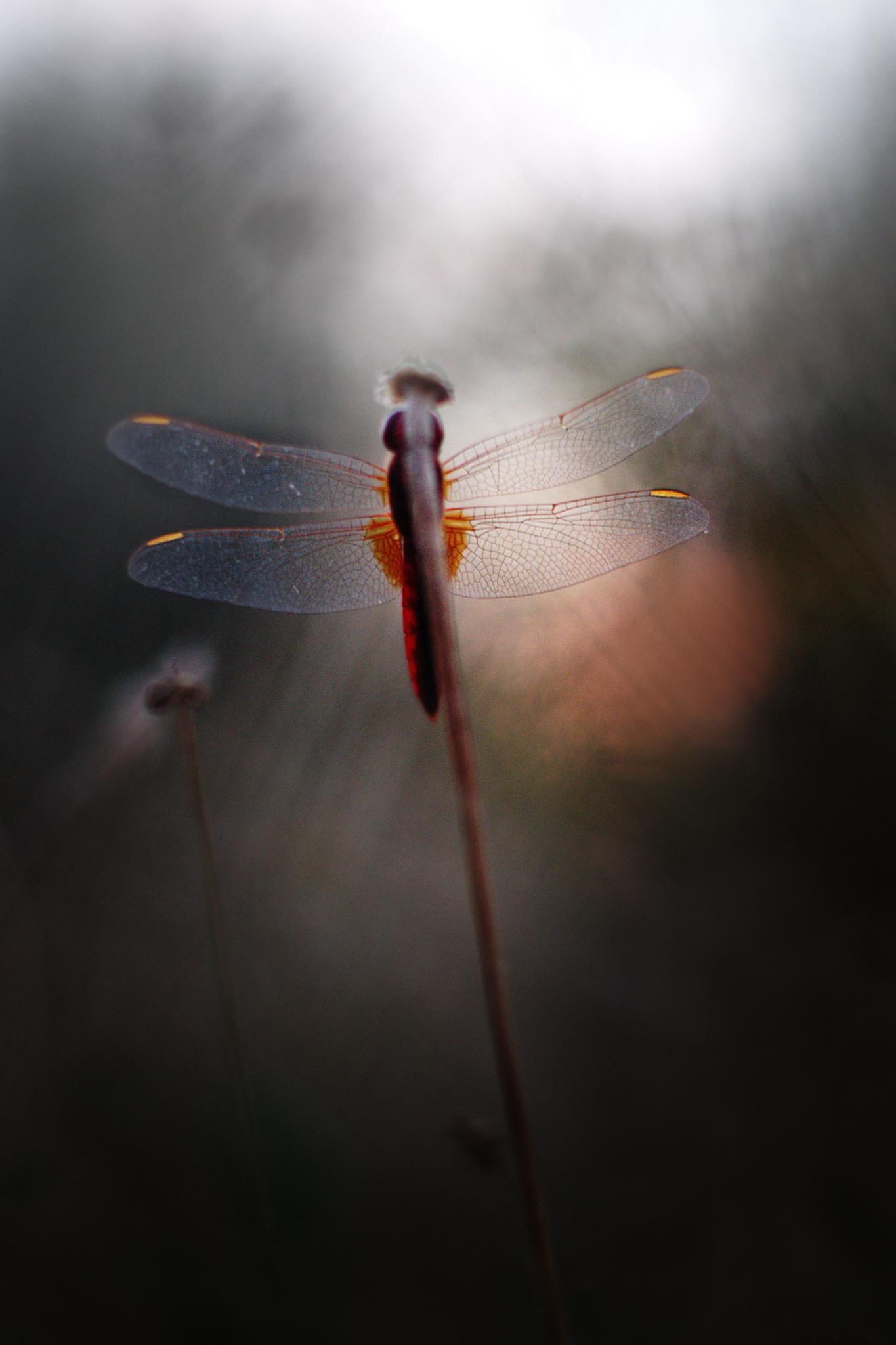 Photo in Macro #macro #nature #light #bokeh #dragonfly #libellule