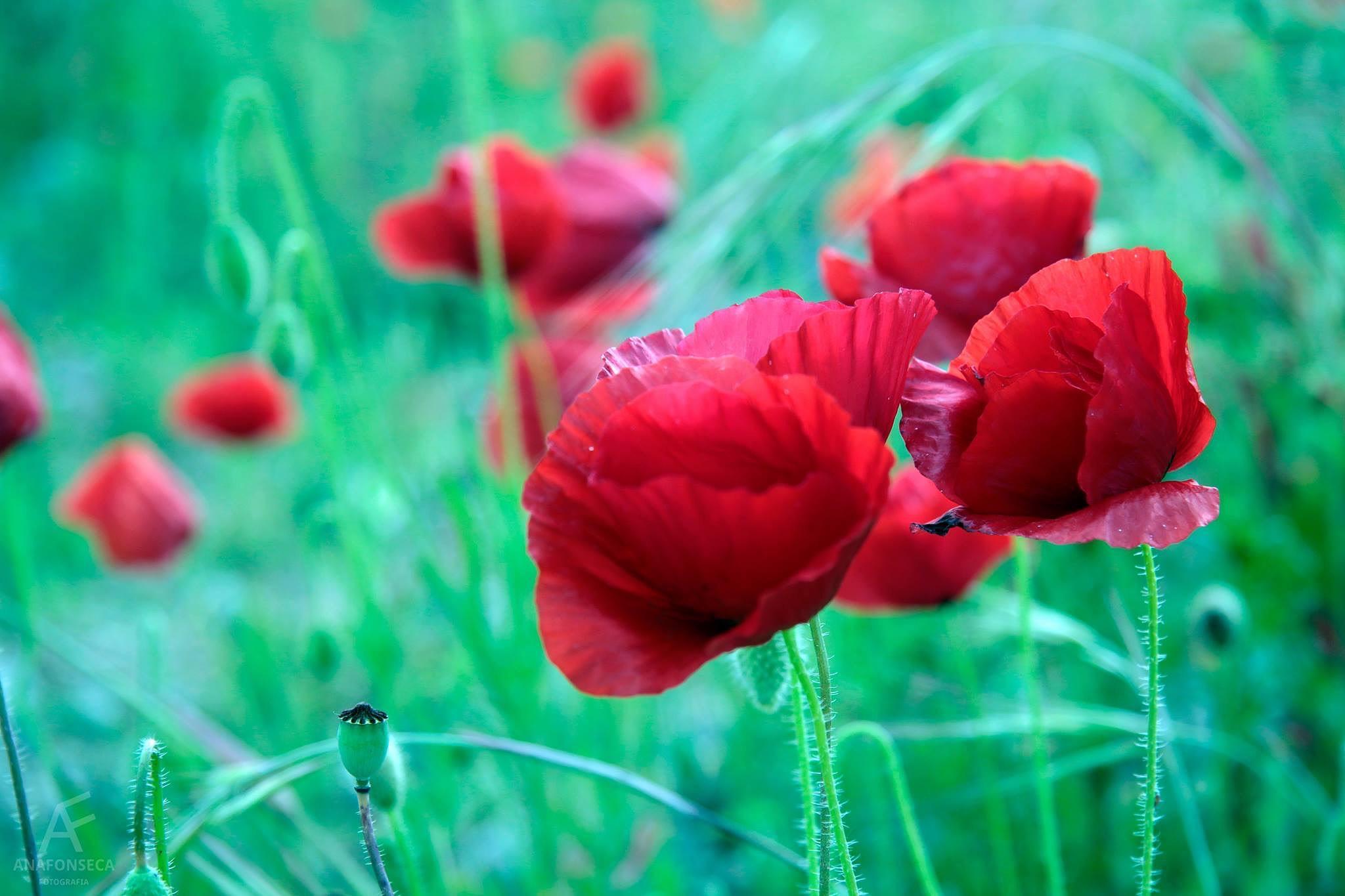Poppies  by Ana Paula Fonseca
