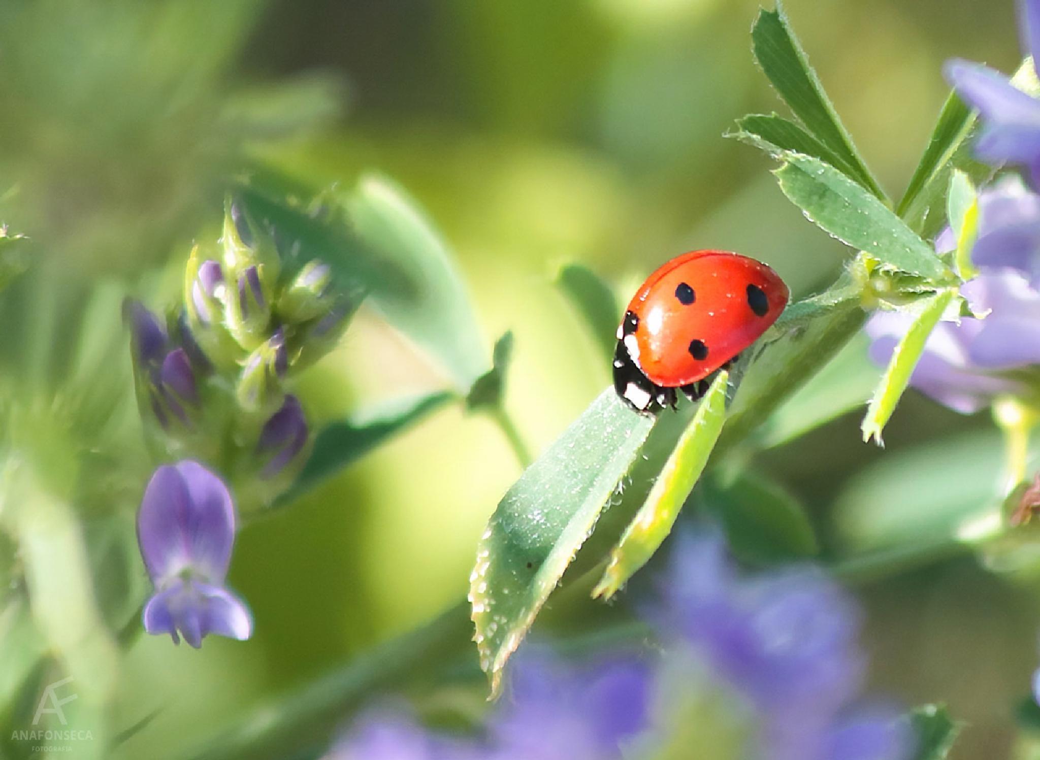 Ladybug  by Ana Paula Fonseca