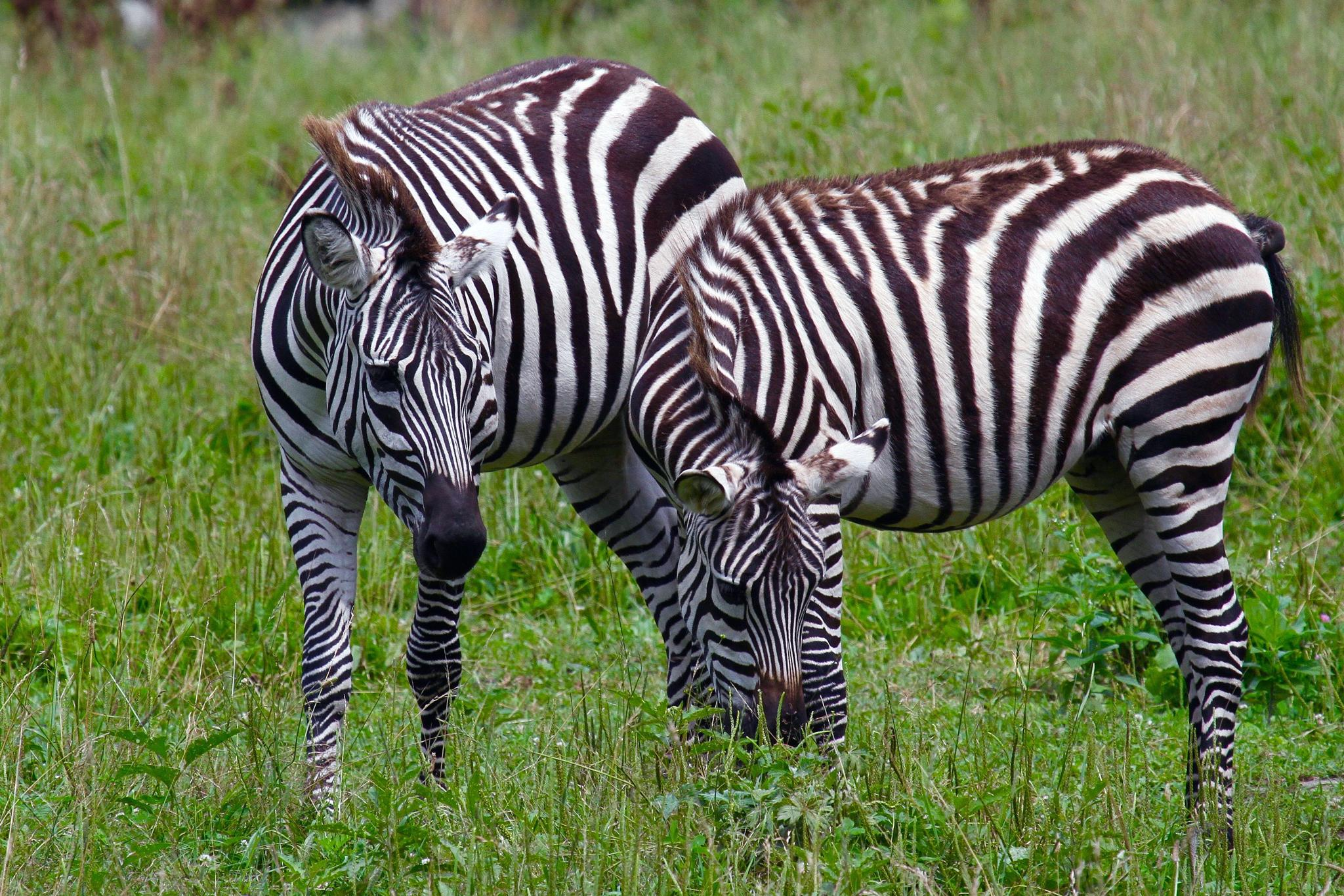 Zebras by Jason R. Rich
