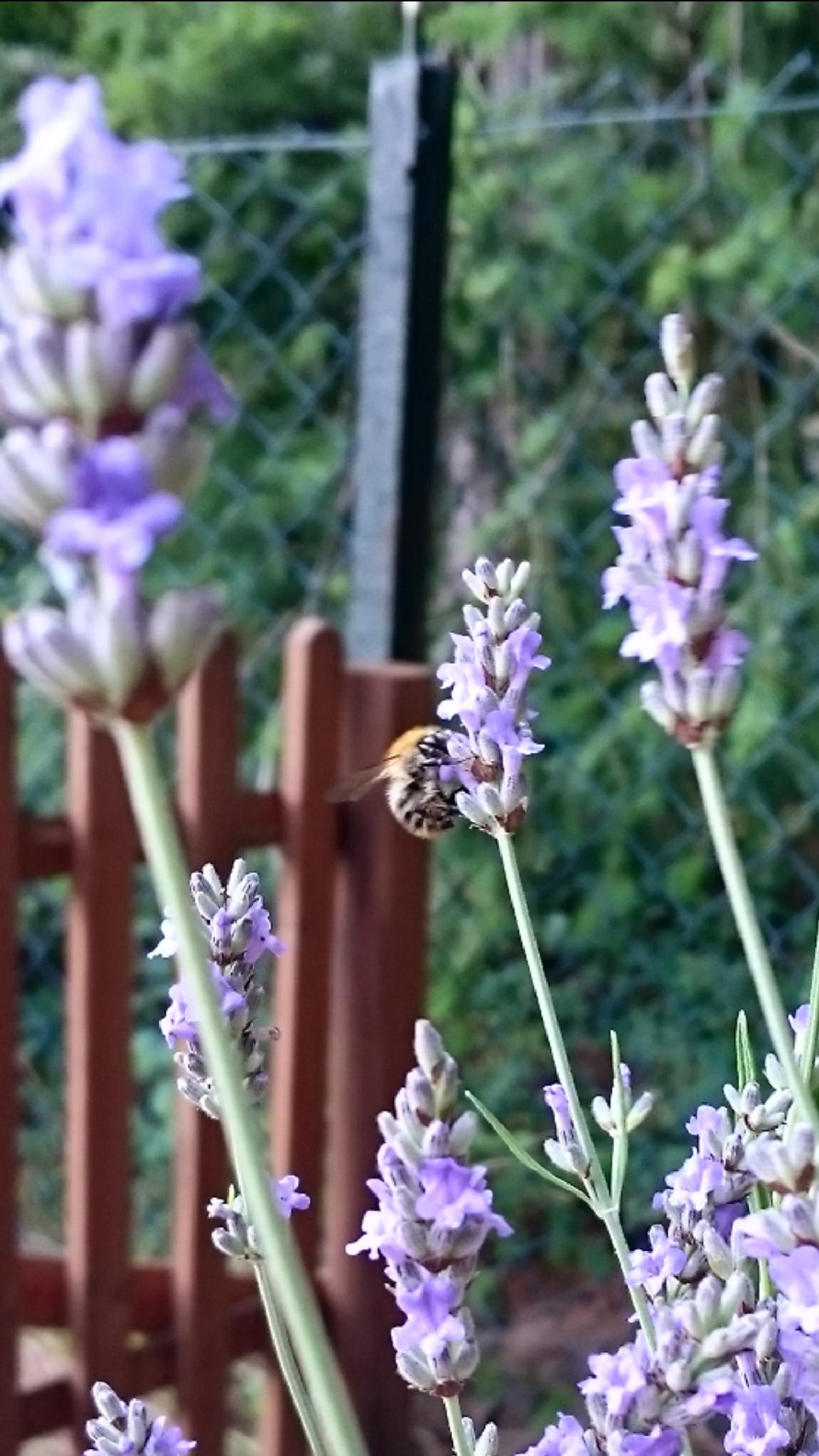 Photo in Nature #bee #nature #lavendel